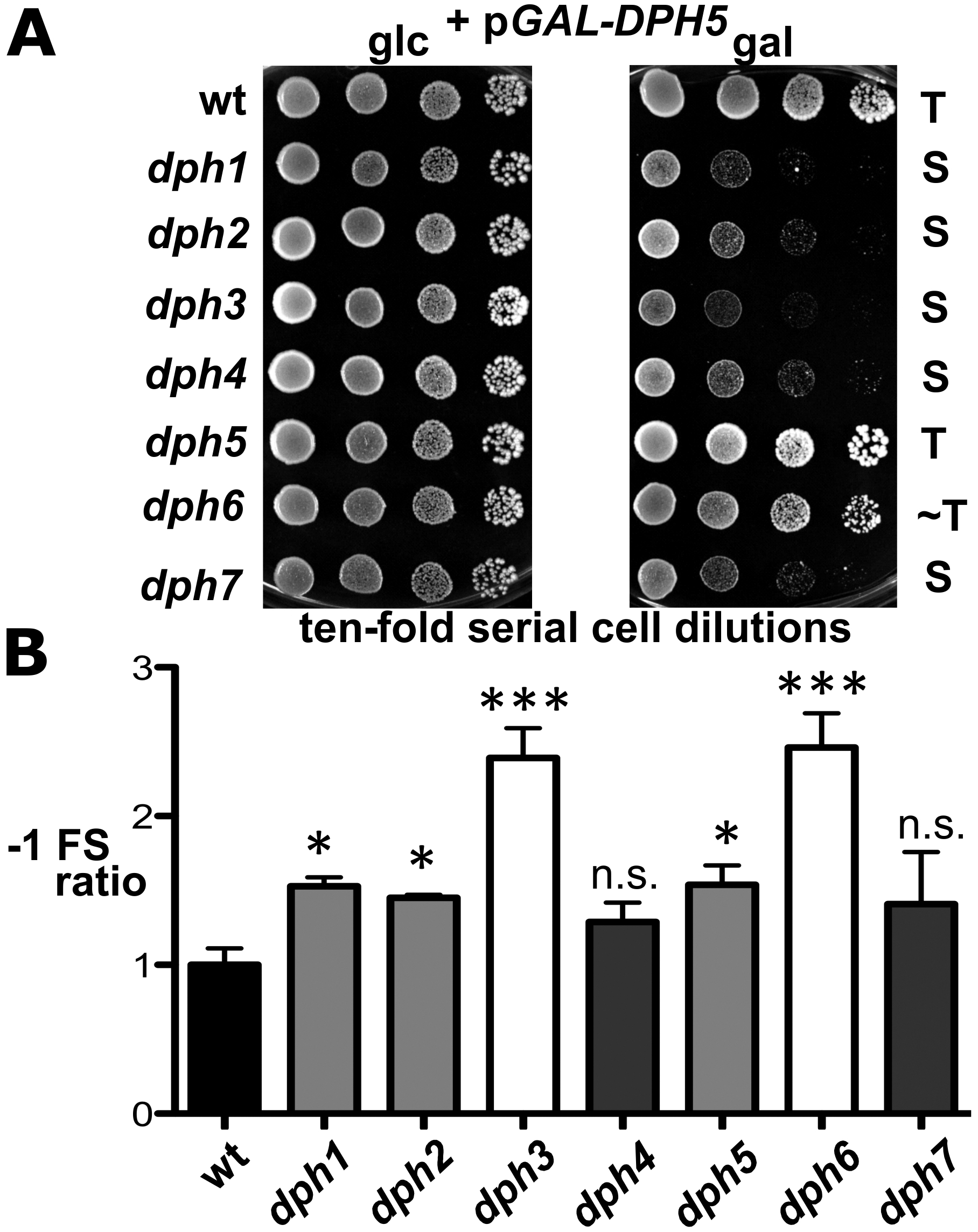 <i>dph</i> mutants show sensitivity to elevated diphthine synthase levels and confer reduced translational accuracy.
