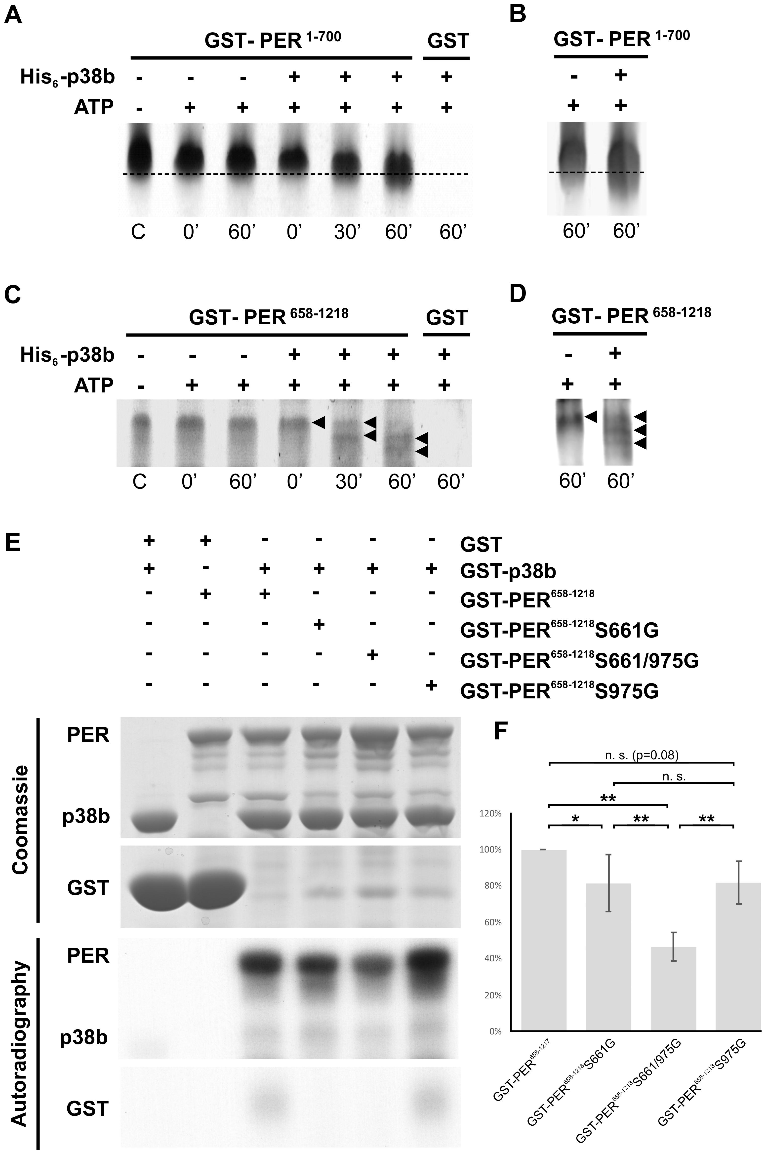 p38b phosphorylates PER <i>in vitro</i>.