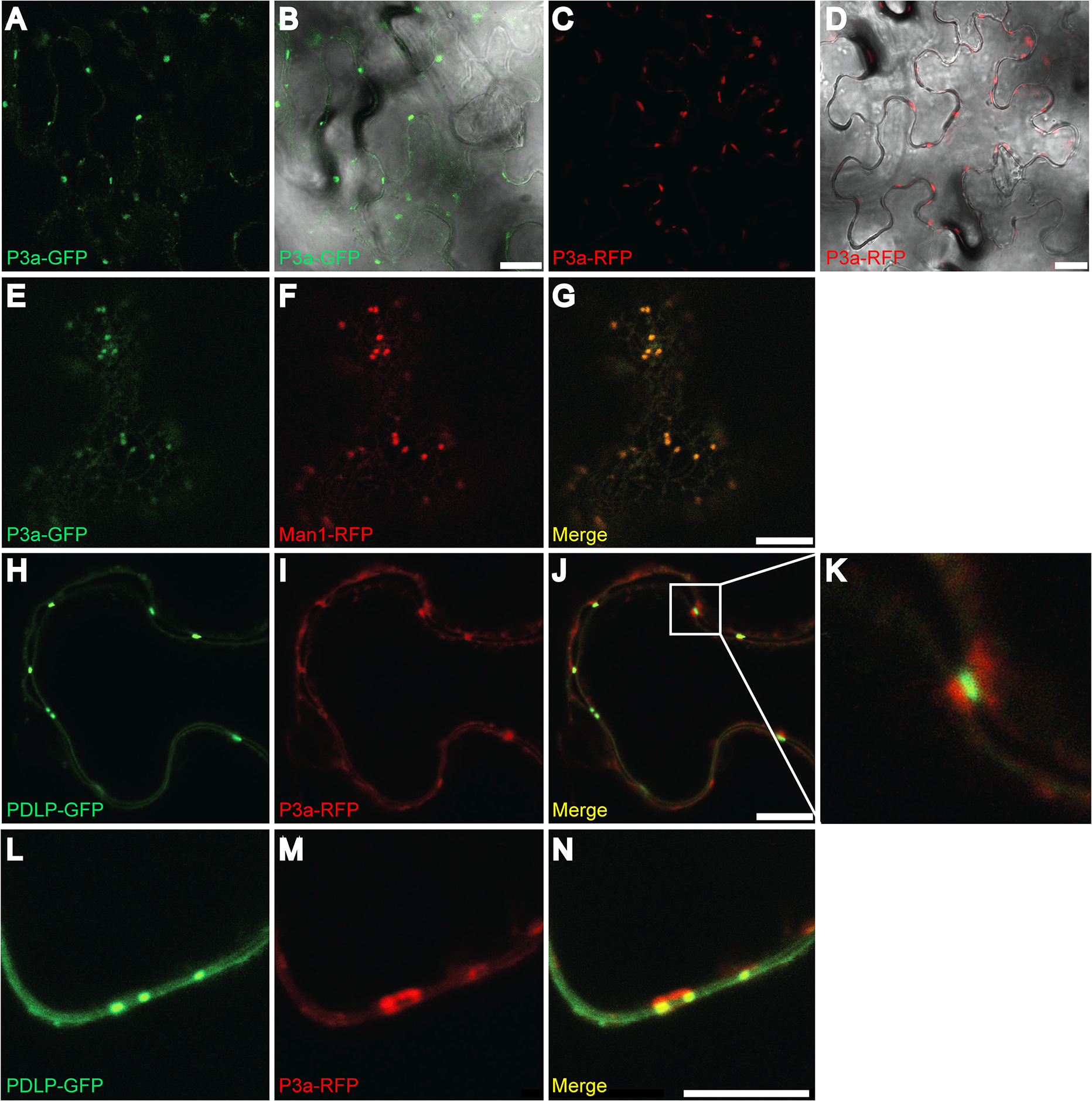 Subcellular localization of P3a.