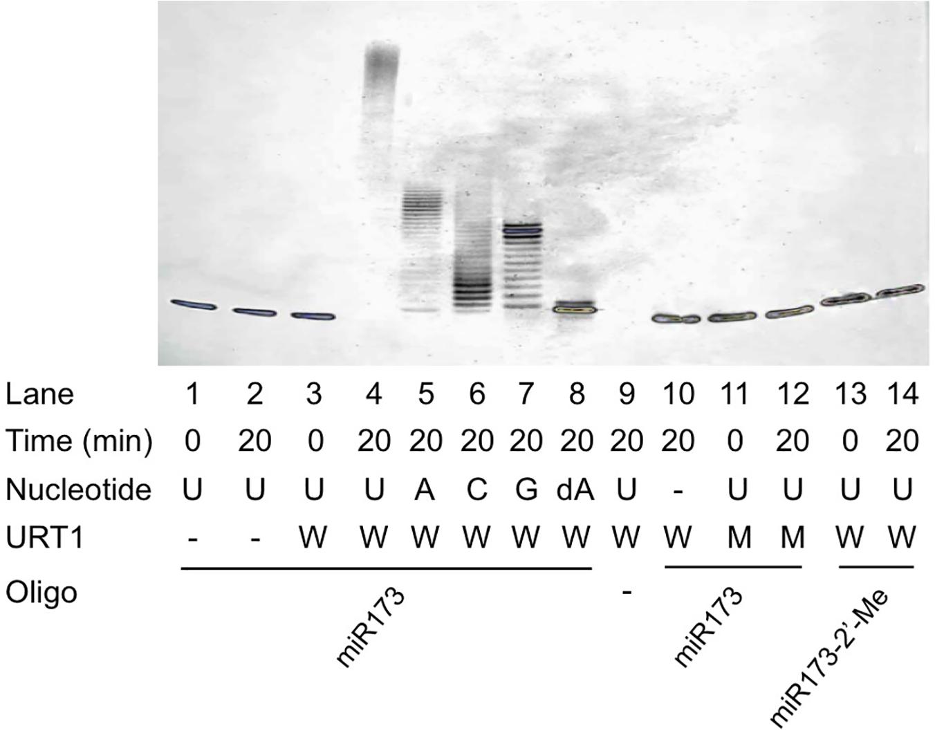 Nucleotidyl transferase assays for URT1.