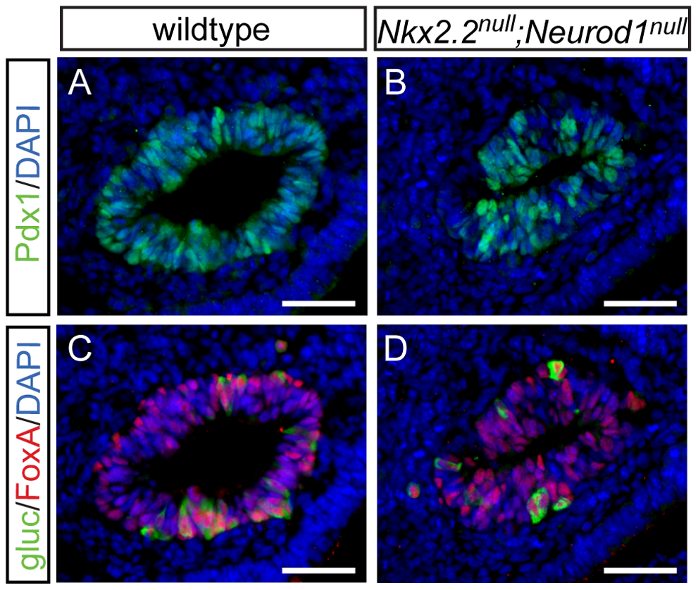 Alpha cells are present in the early pancreatic domain of the <i>Nkx2.2<sup>null</sup>;Neurod1<sup>null</sup></i> double-knockout mouse.