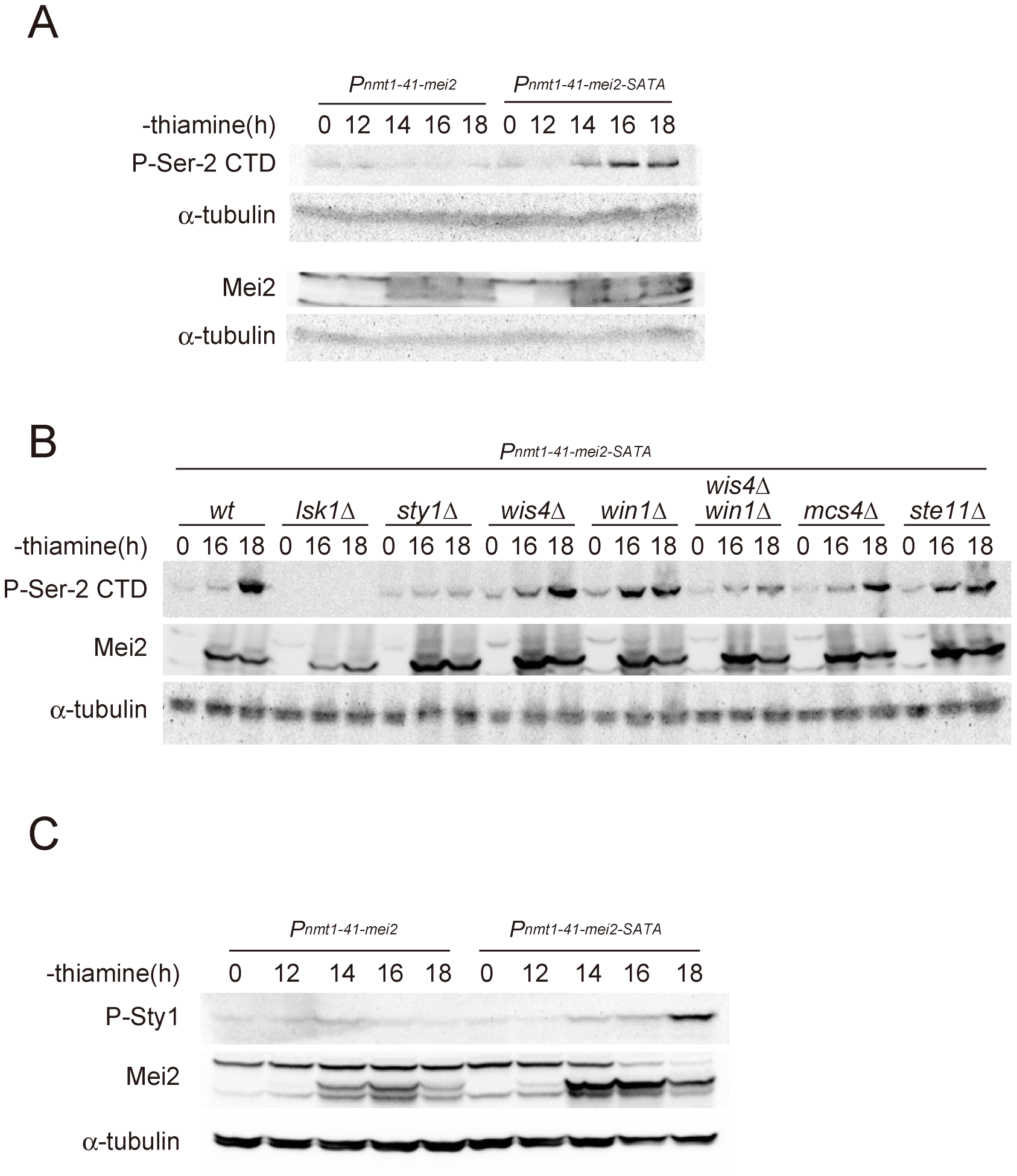 The activation of Mei2 leads to elevated CTD Ser-2 phosphorylation.