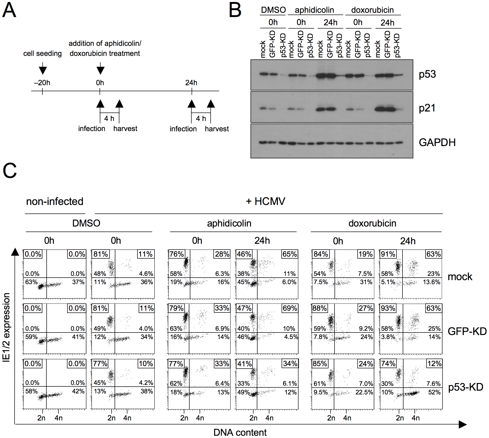 P53 is required for the checkpoint-dependent rescue of MIE gene expression in S/G2.