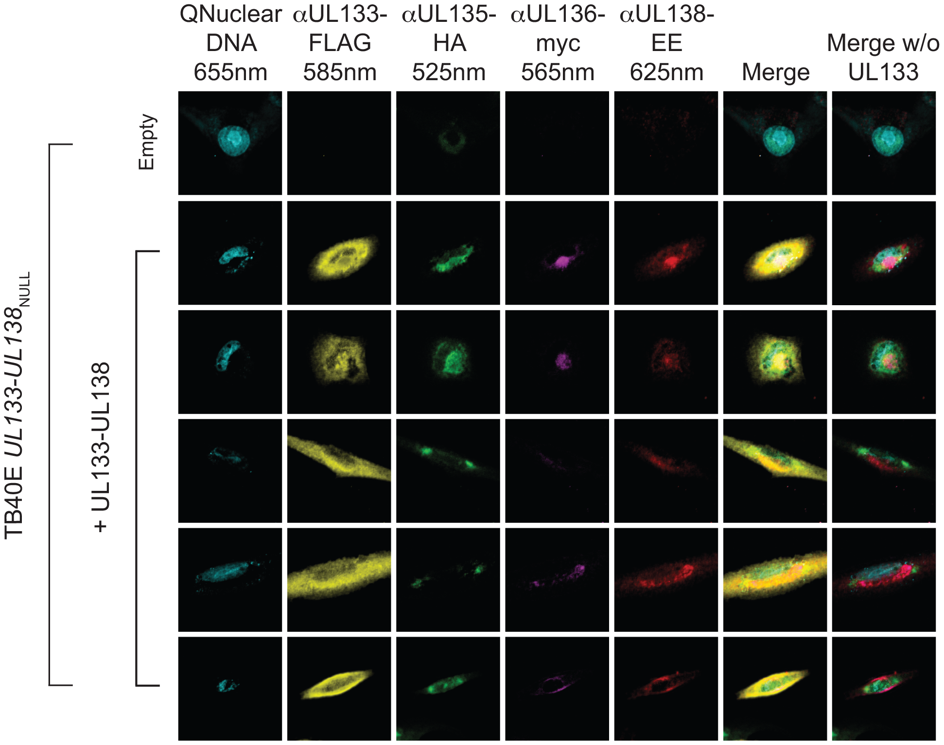 Colocalization of pUL133, pUL135, pUL136 and pUL138 in the Golgi apparatus.