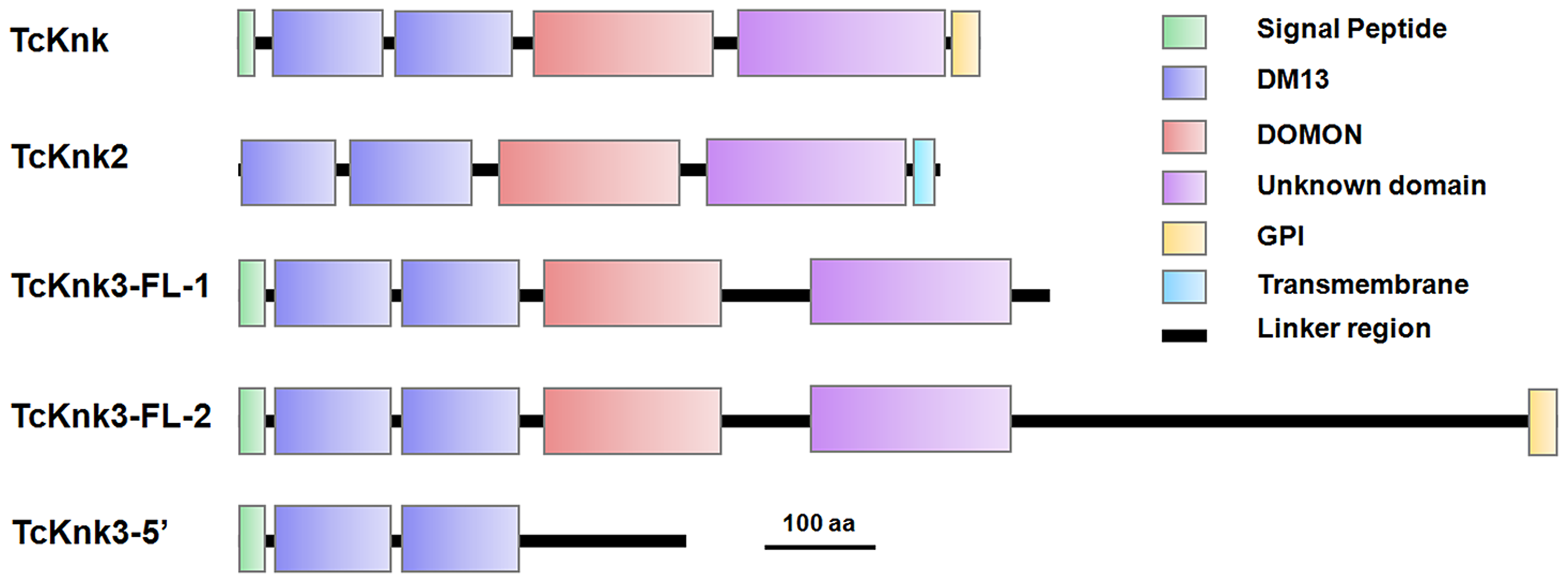 Domain architecture of putative TcKnk-family proteins from <i>Tribolium castaneum</i>.