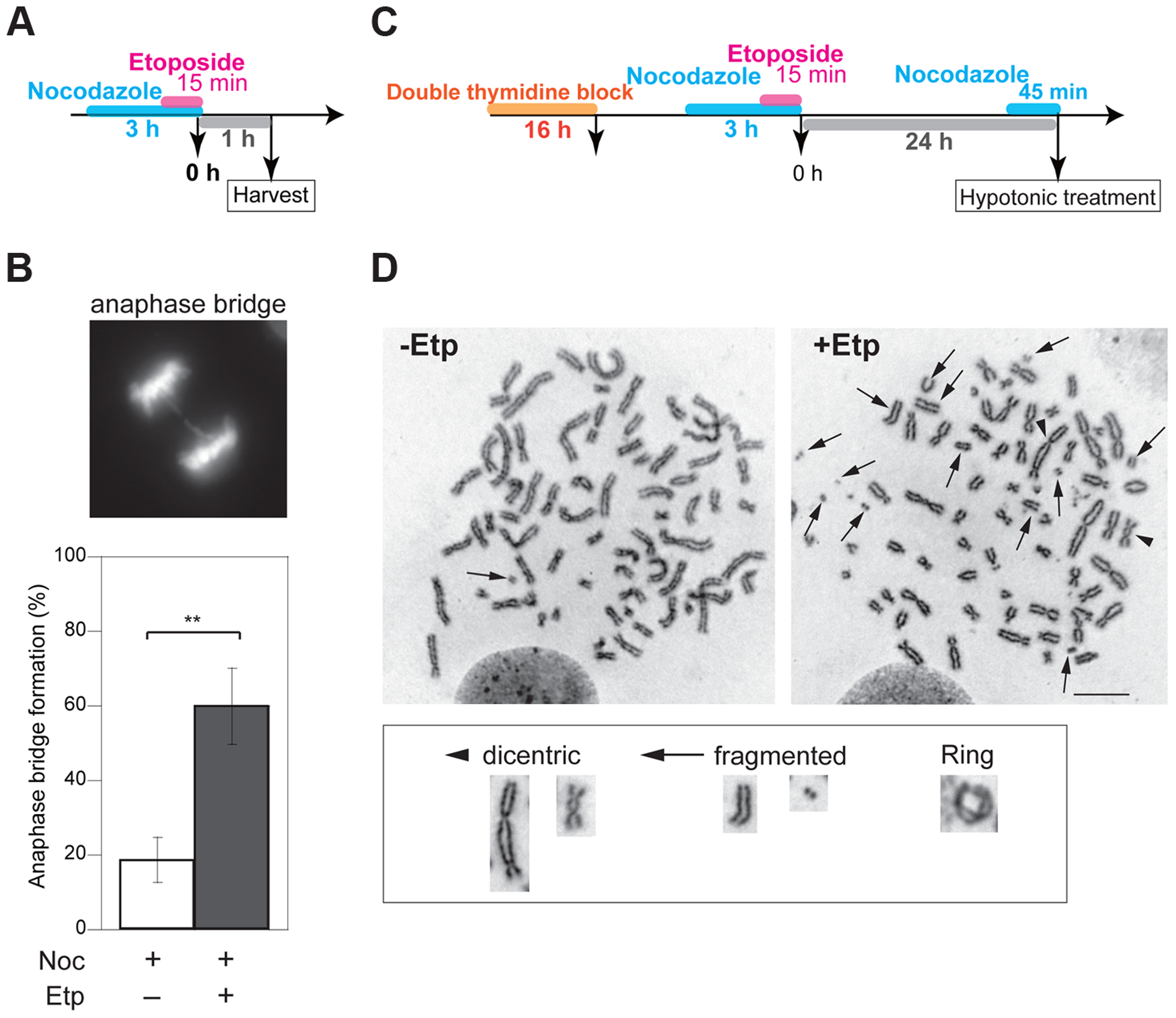 M-phase DSBs induce anaphase bridges and cause chromosome aberrations.