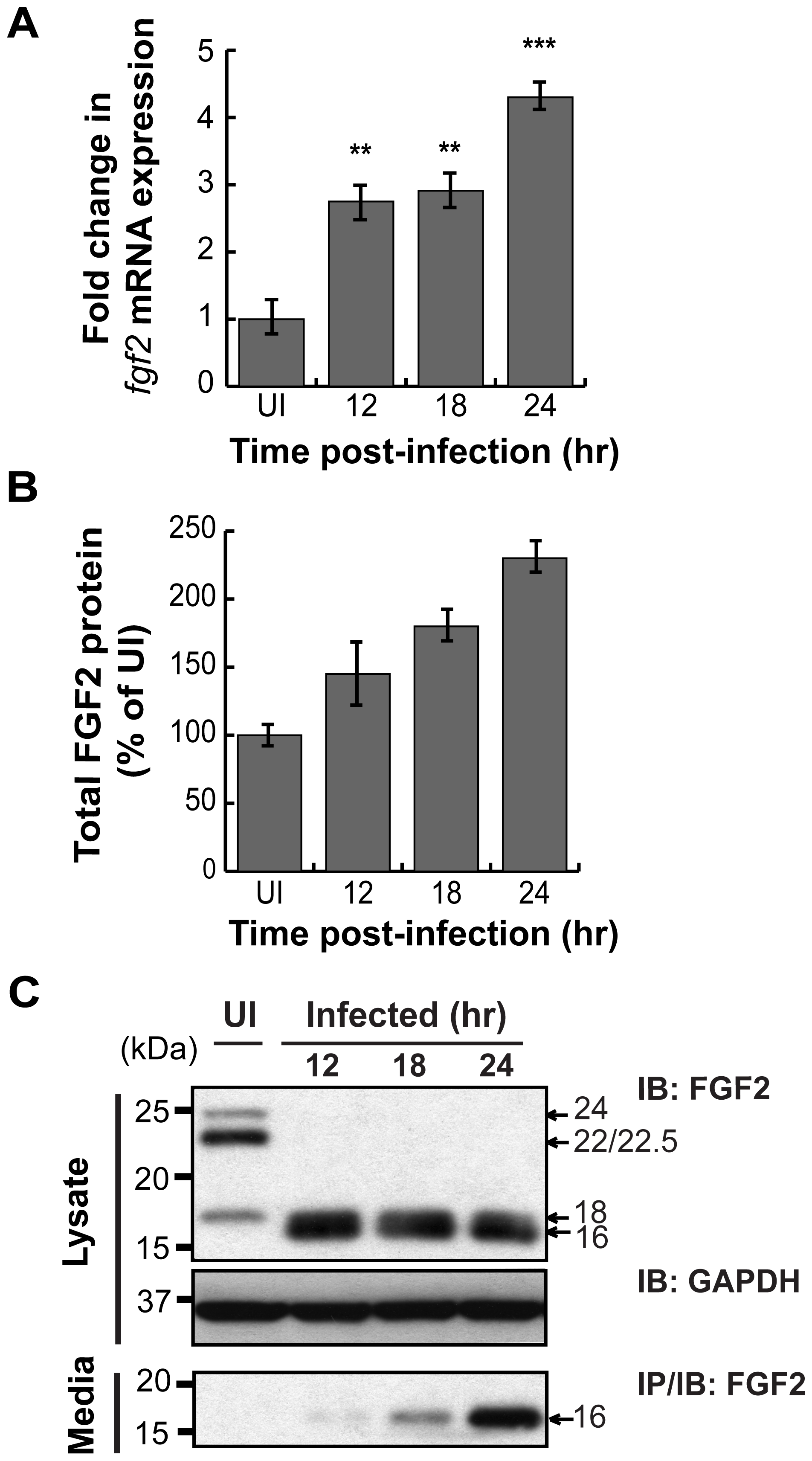 <i>C. trachomatis</i> L2 infection stimulates FGF2 expression, production, and release.