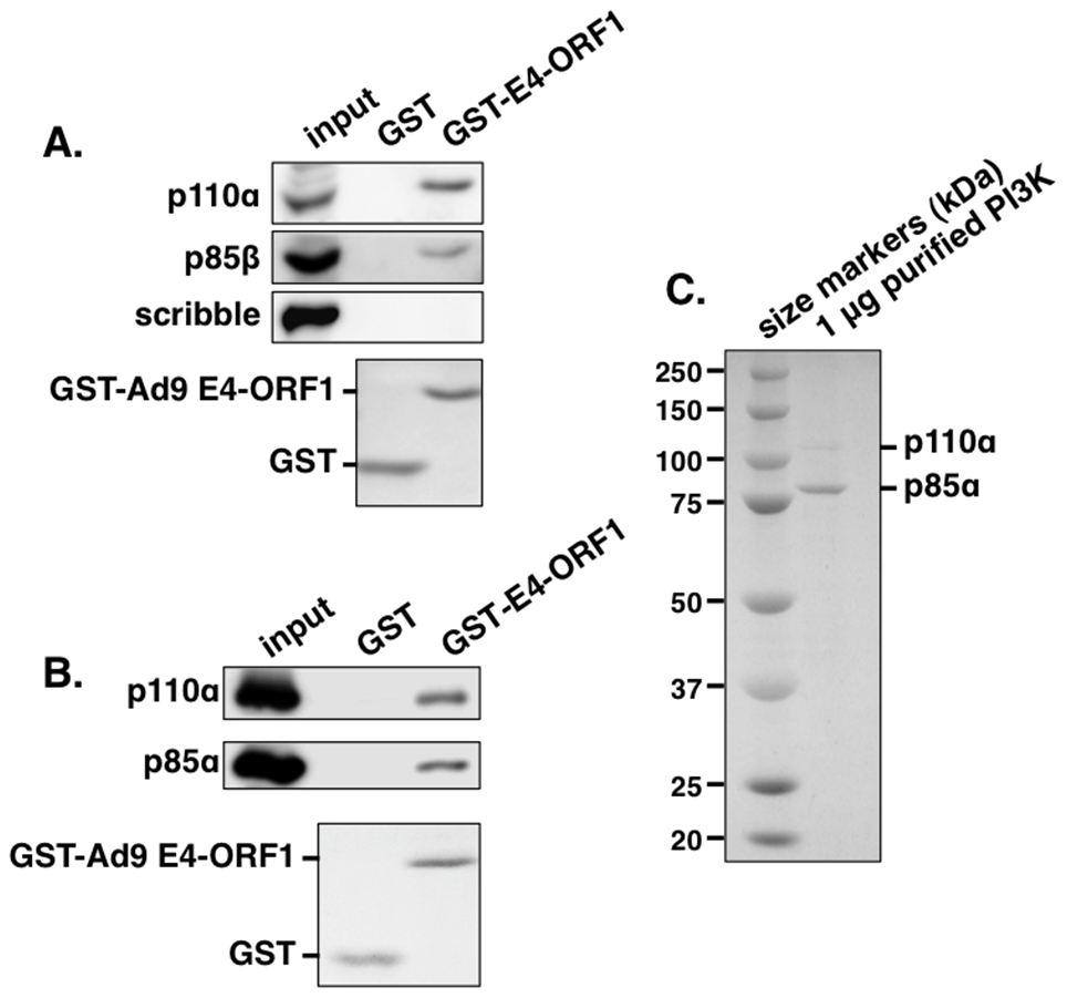The GST-E4-ORF1 fusion protein binds specifically and directly to the functional PI3K p85:p110 heterodimer in an <i>in vitro</i> pulldown assay.
