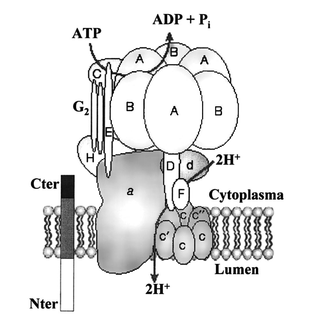 Schéma receptoru (P)RR spojeného s vakuolární H+-ATPázou (dle 27)