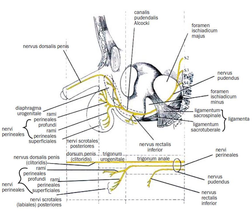 Průběh nervus pudendus v pánvi - sagitální pohled [47] .