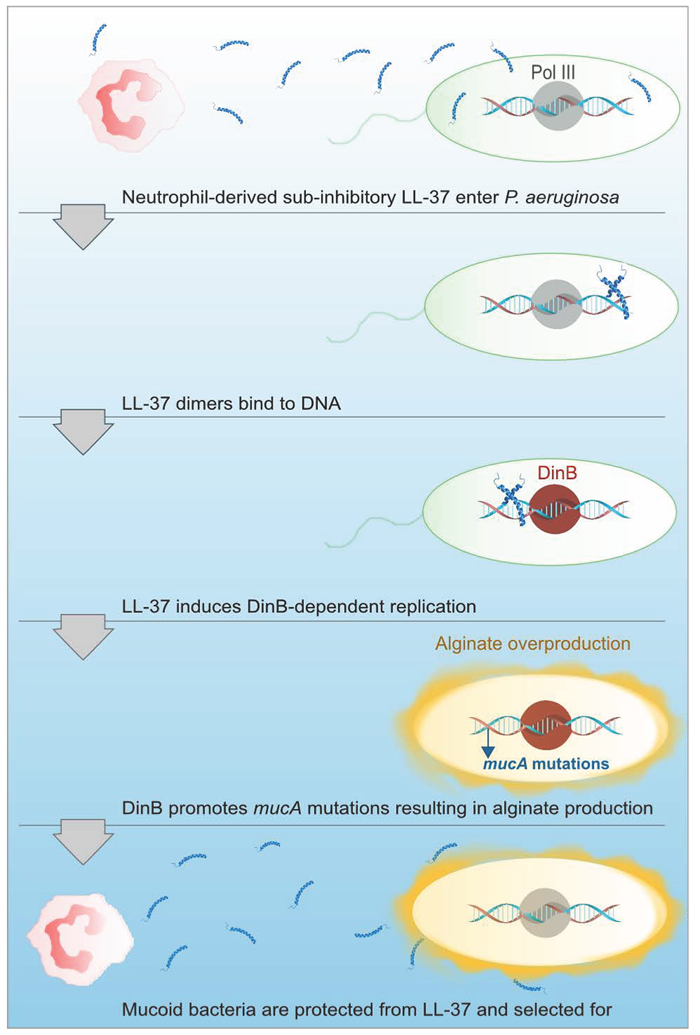Proposed model of LL-37 induced mutagenesis.