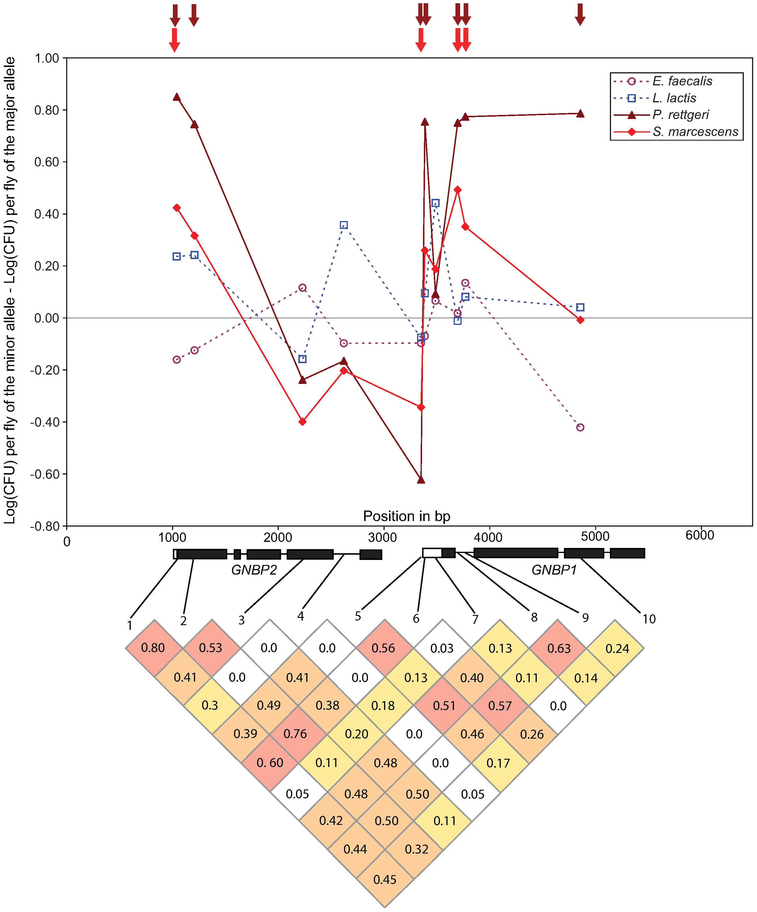 Genotype-phenotype associations at the <i>GNBP</i> locus in chromosomal band 75D.