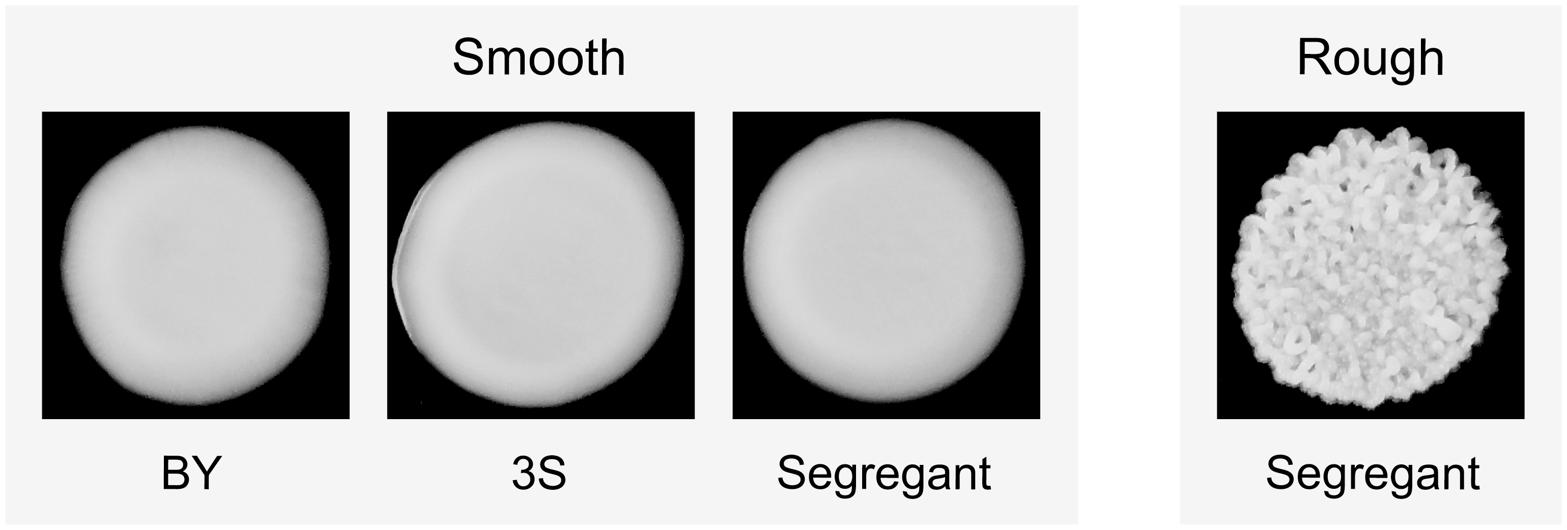 Colony morphology phenotypes that occur in the BYx3S cross in the presence of <i>ira2Δ</i>2933.