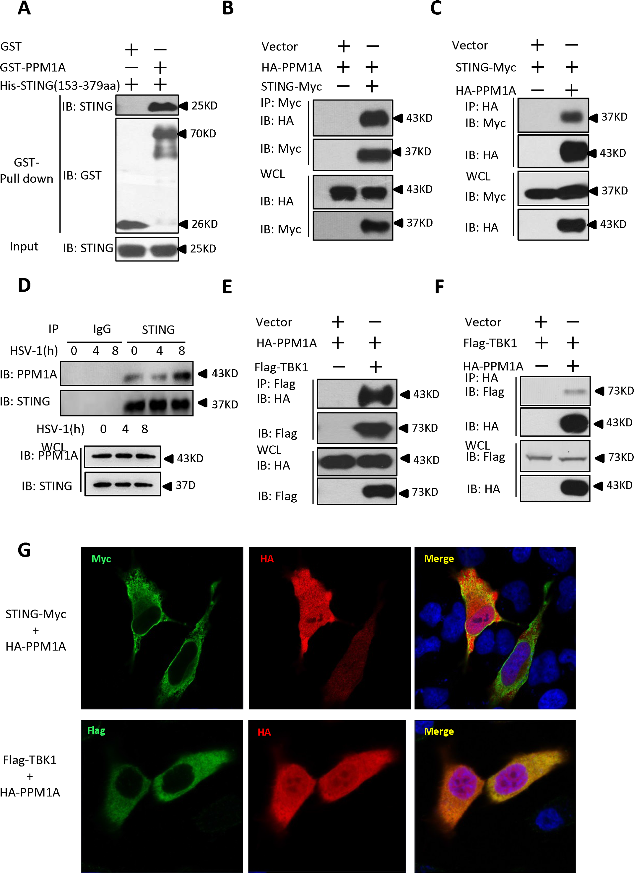 Identification of PPM1A as a protein that interacts with STING.