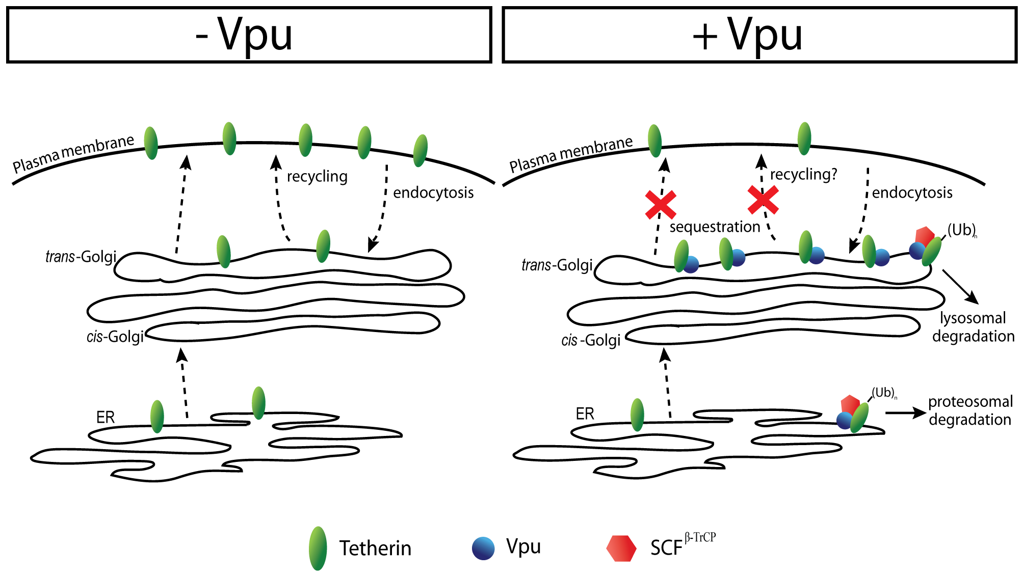 Model of Vpu-mediated down-regulation of Tetherin from the cell-surface.