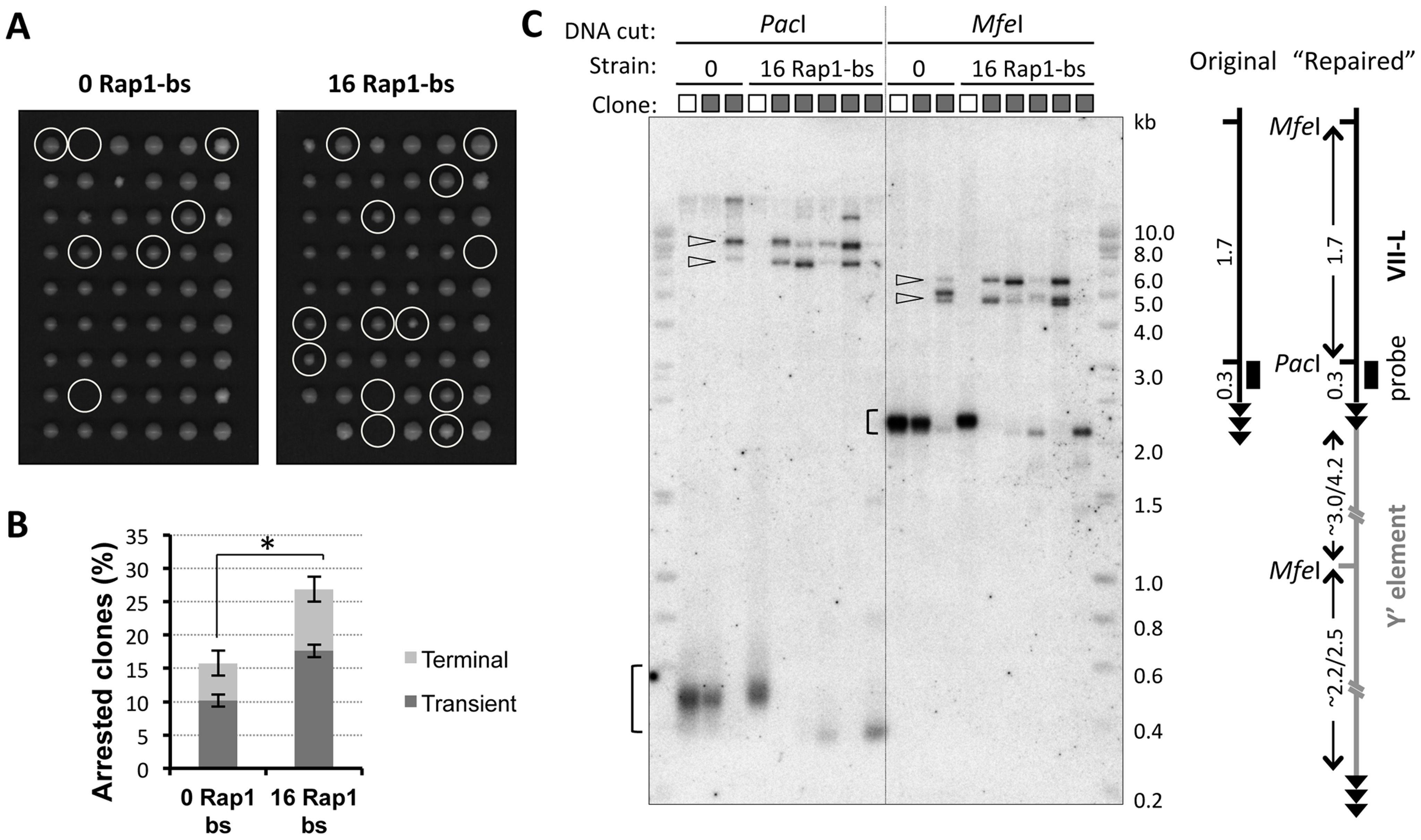 Clones derived from transiently arrested cells exhibit VII-L end rearrangement consistent with Y′ element translocation.