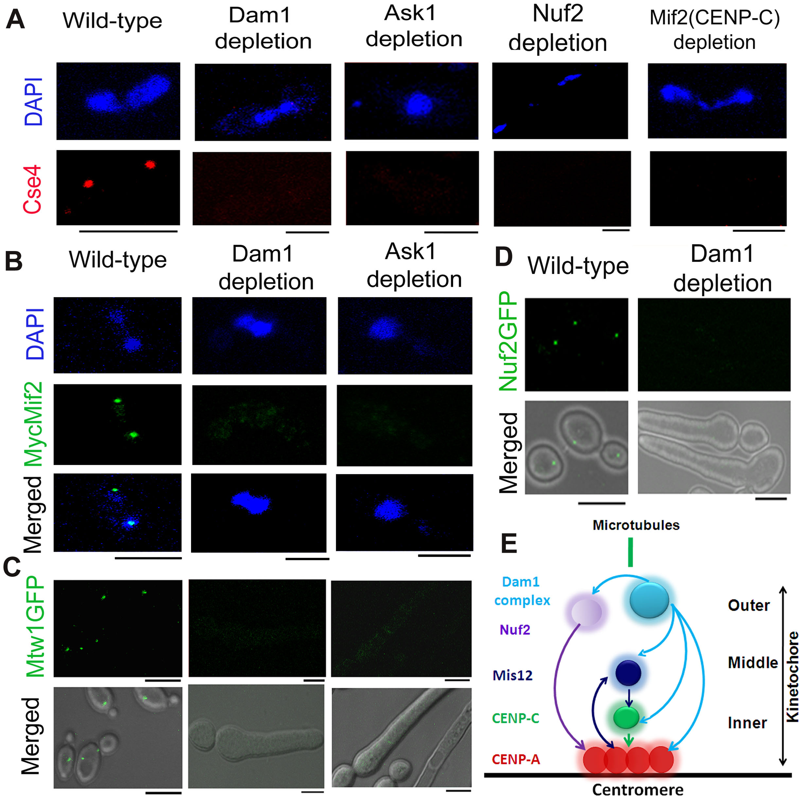The process of kinetochore assembly is interdependent and coordinated in <i>C. albicans</i>.