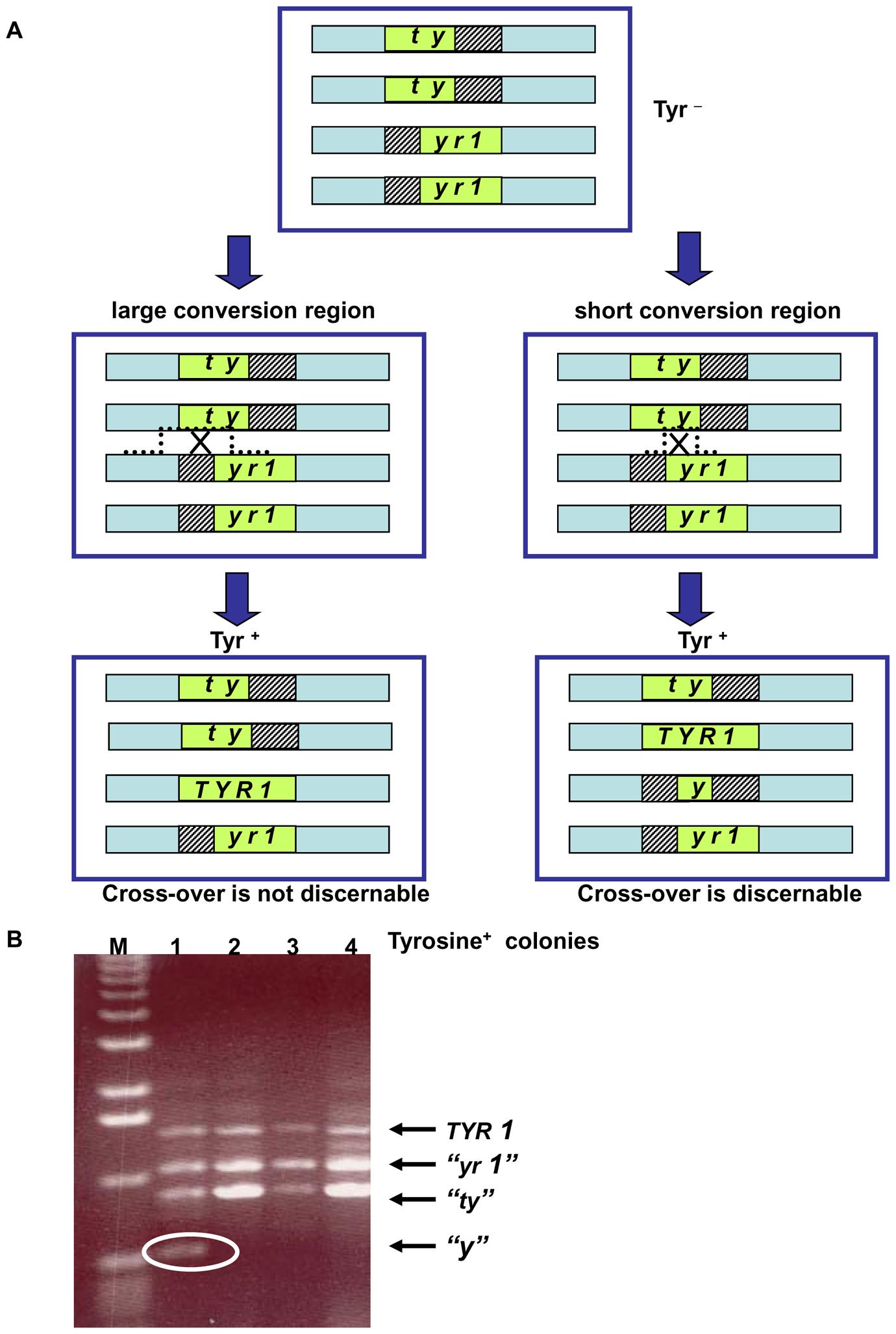 Genetic reporter for recombination between heteroalles residing on homologous chromosomes in tetraploid strains.
