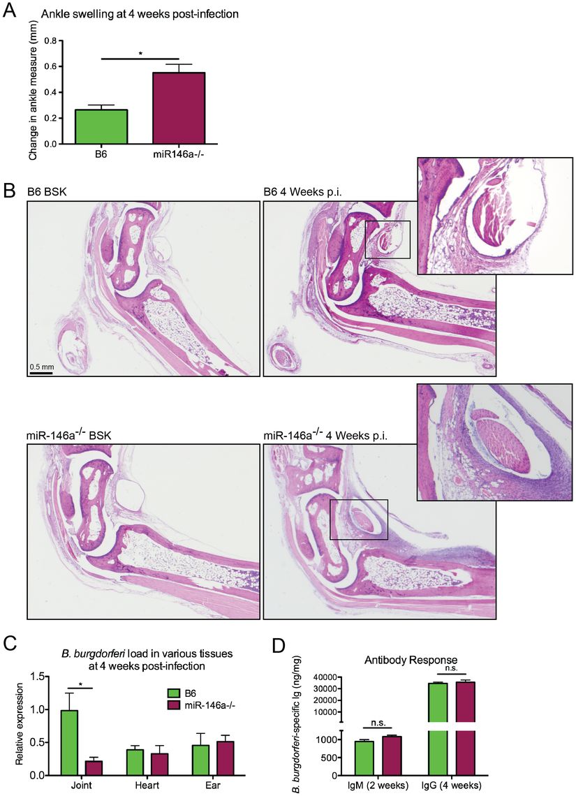 B6 miR-146a<sup>−/−</sup> mice develop more severe arthritis at 4 weeks post-infection independent of bacterial burden.