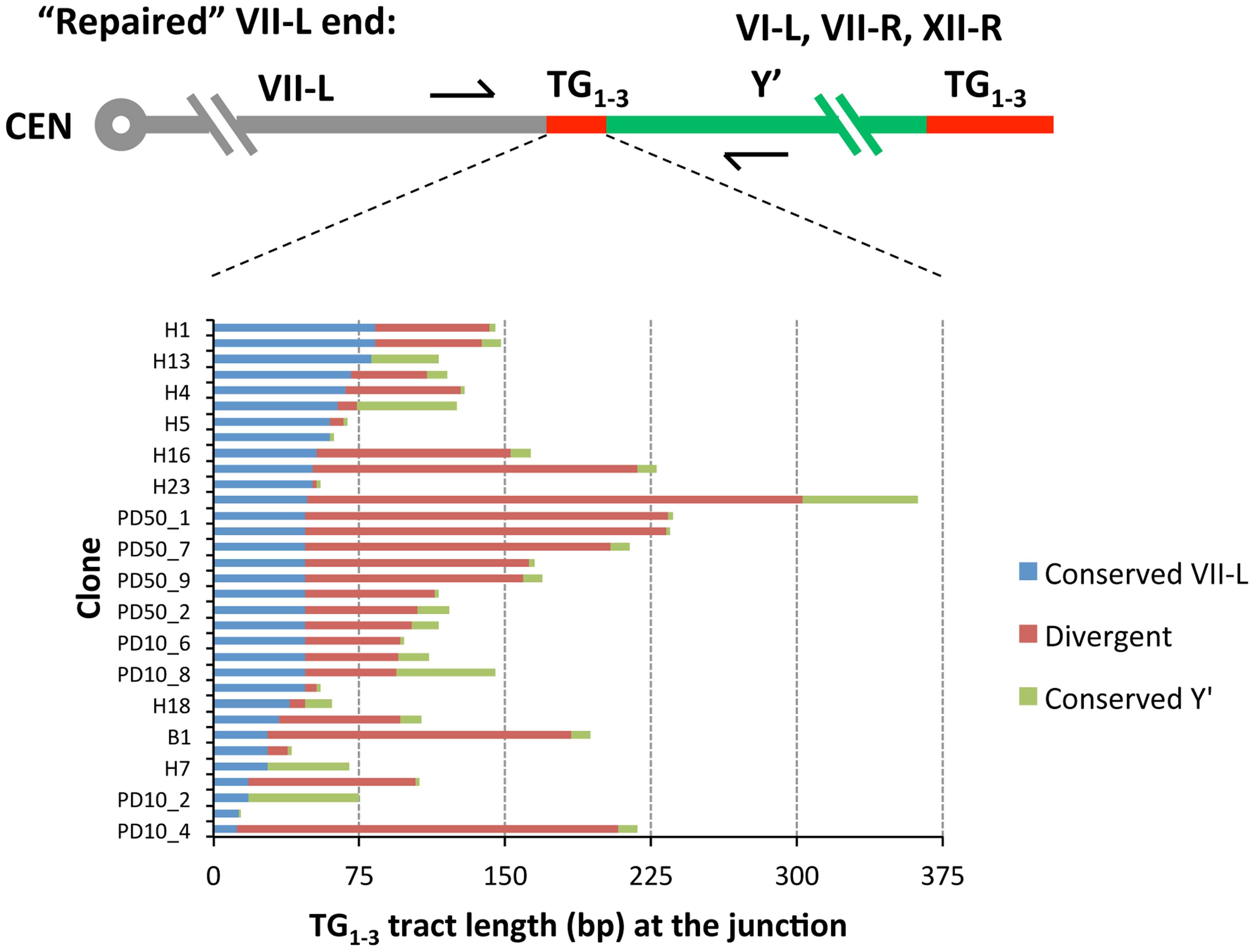 Sequence divergence within internal TG<sub>1–3</sub> repeat tracts of the clones resulted from Y′ element translocation on the shortened VII-L end.