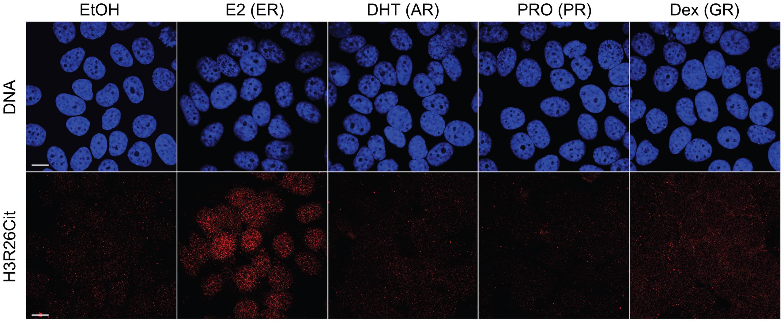 Hormone-induced H3R26Cit is unique to estradiol.