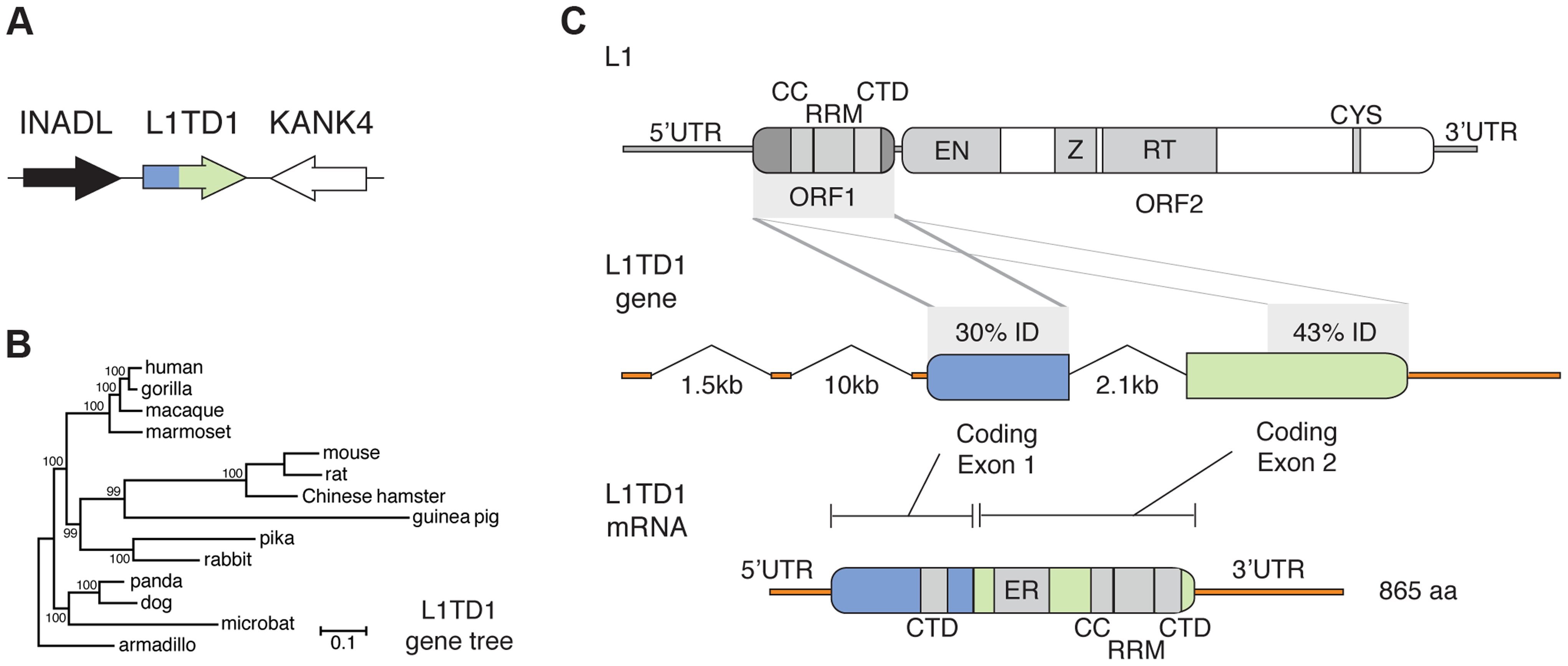 The mammalian <i>L1TD1</i> gene was born from a tandem insertion of L1 ORF1.