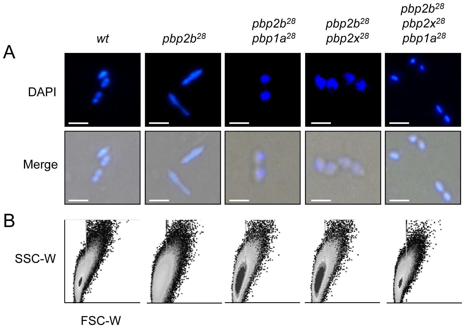 Effect of <i>pbp</i> mutations on cell morphology.
