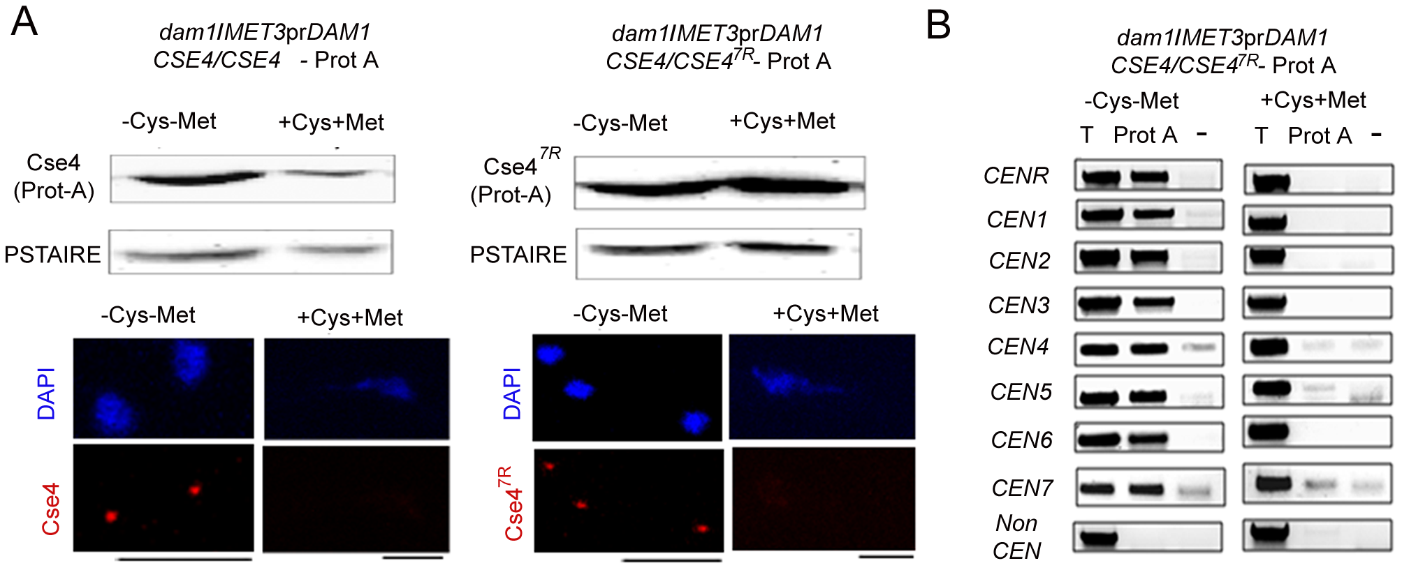 Depletion of Dam1 leads to degradation of CENP-A/Cse4 through the ubiquitin-mediated proteasomal degradation pathway.