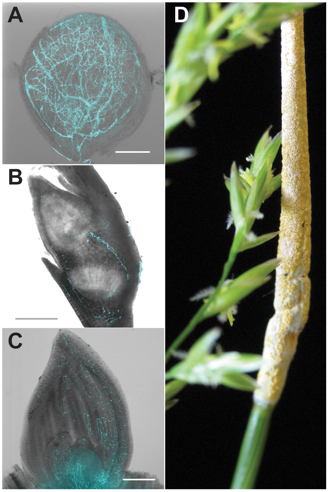 Symbiosis of meadow fescue with <i>Epichloë festucae</i>, a heritable symbiont.