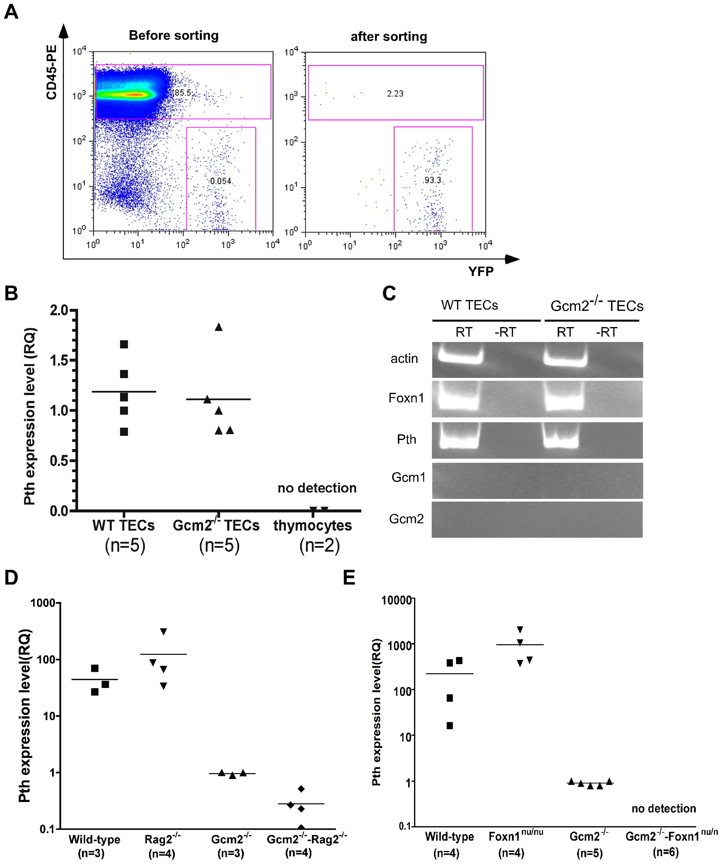mTEC-derived PTH expression is Gcm2-independent but requires Foxn1-mediated TEC differentiation.