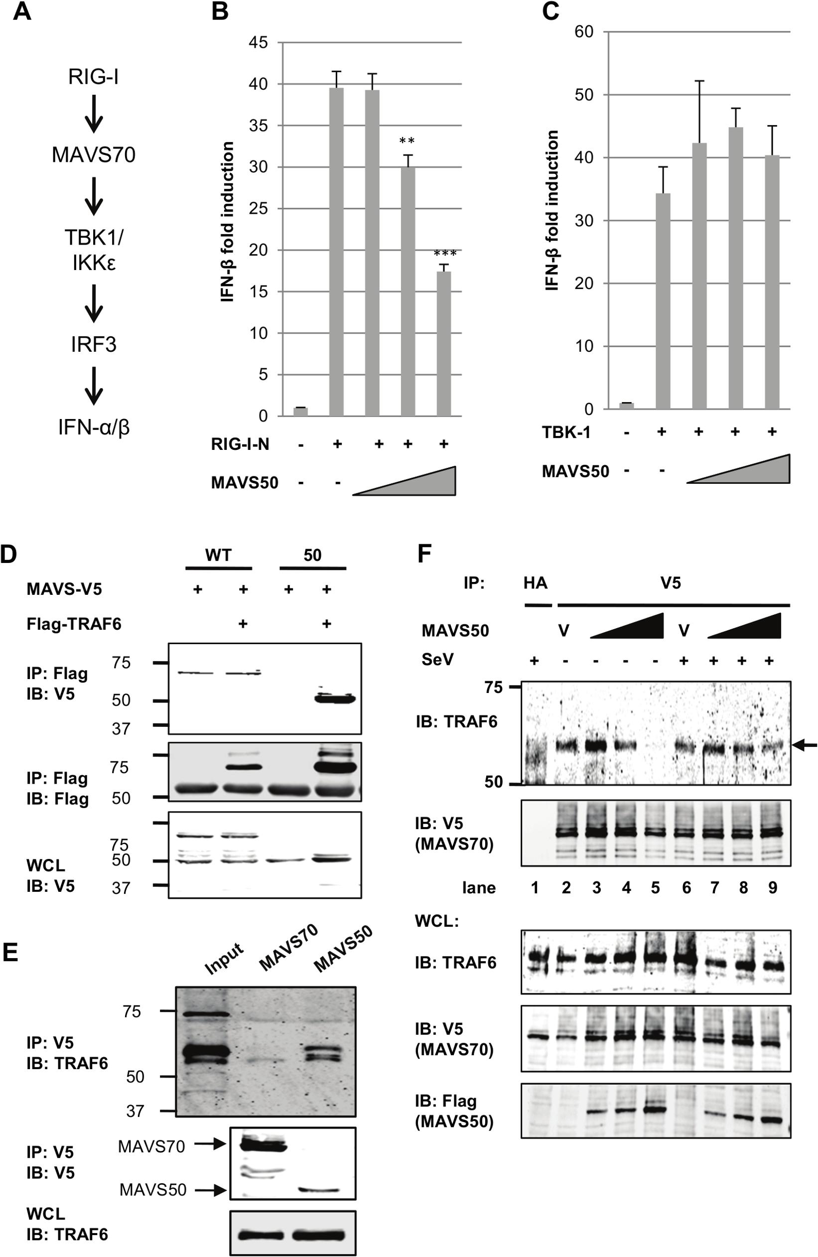 MAVS50 targets TRAF molecules to inhibit MAVS70-mediated IFN induction.