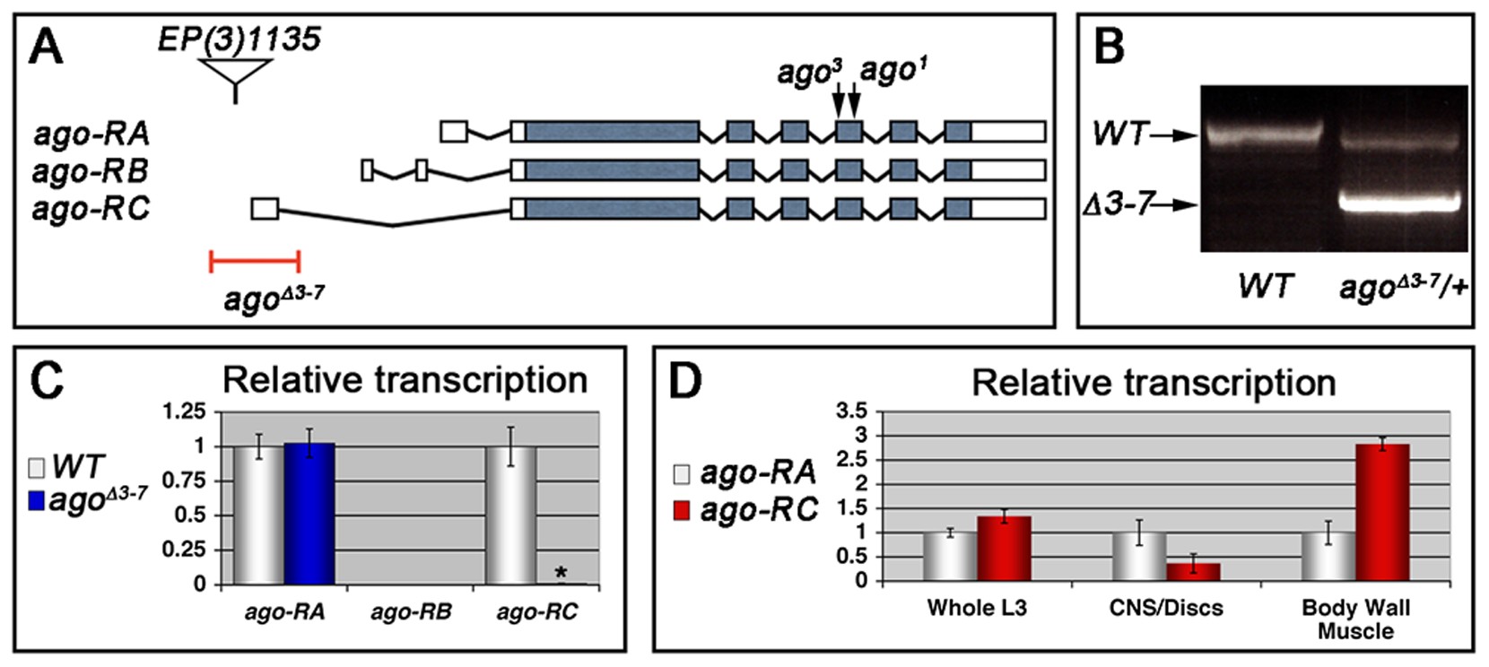 The <i>ago</i><sup>Δ<i>3–7</i></sup> allele specifically deletes the <i>ago-RC</i> transcript, which is enriched in body wall muscle cells.