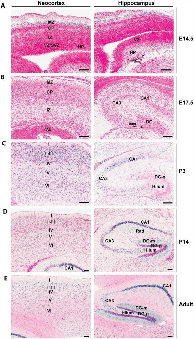 <i>Brpf1</i> expression during forebrain development.