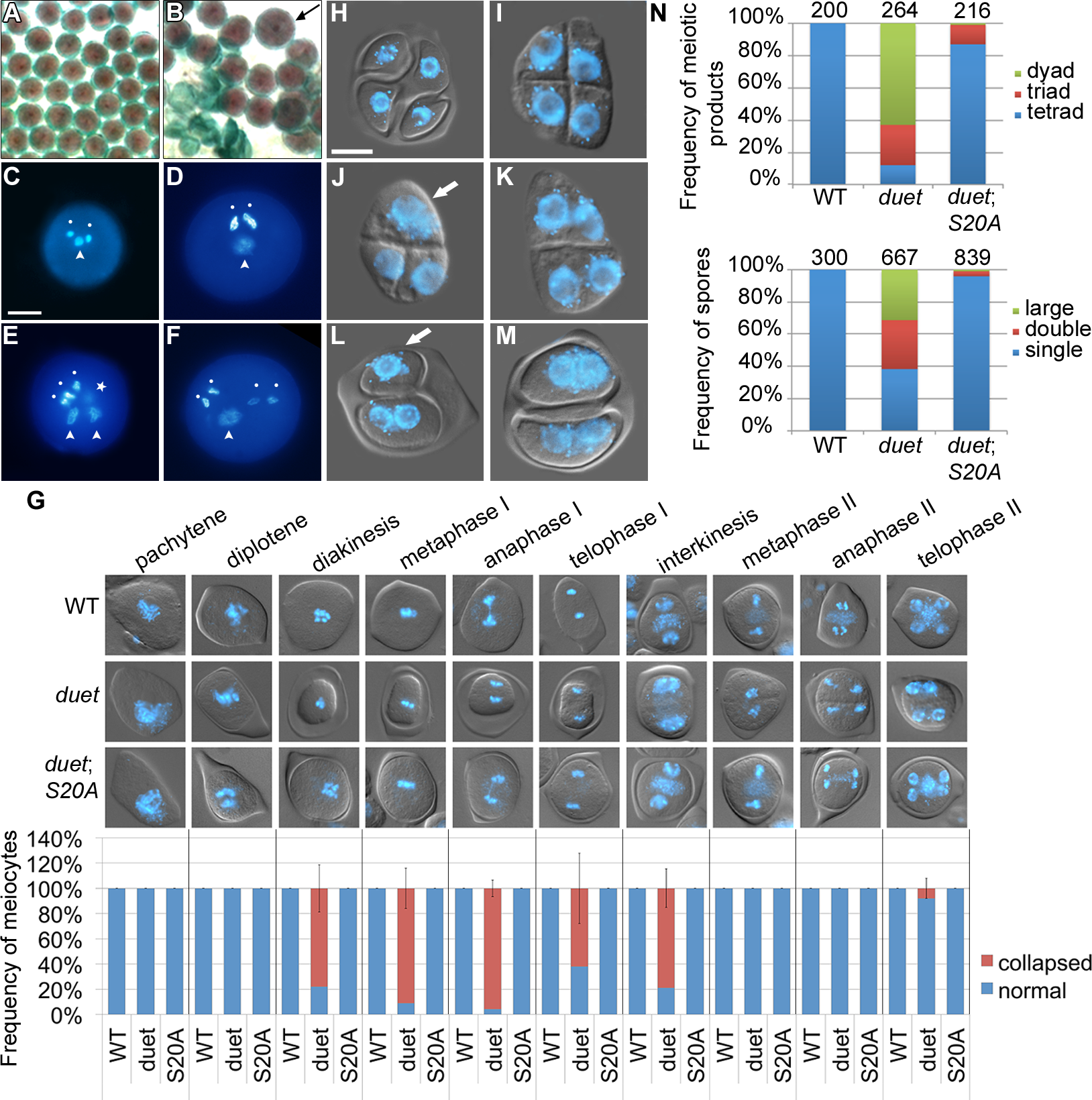 Partial complementation of <i>duet</i> reveals a role in chromosome segregation and cytokinesis.