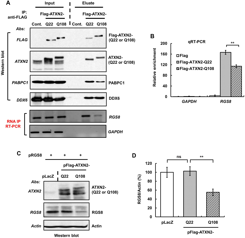 ATXN2 immunoprecipitates <i>RGS8</i> mRNA and regulates RGS8 steady state levels <i>in vitro</i>.