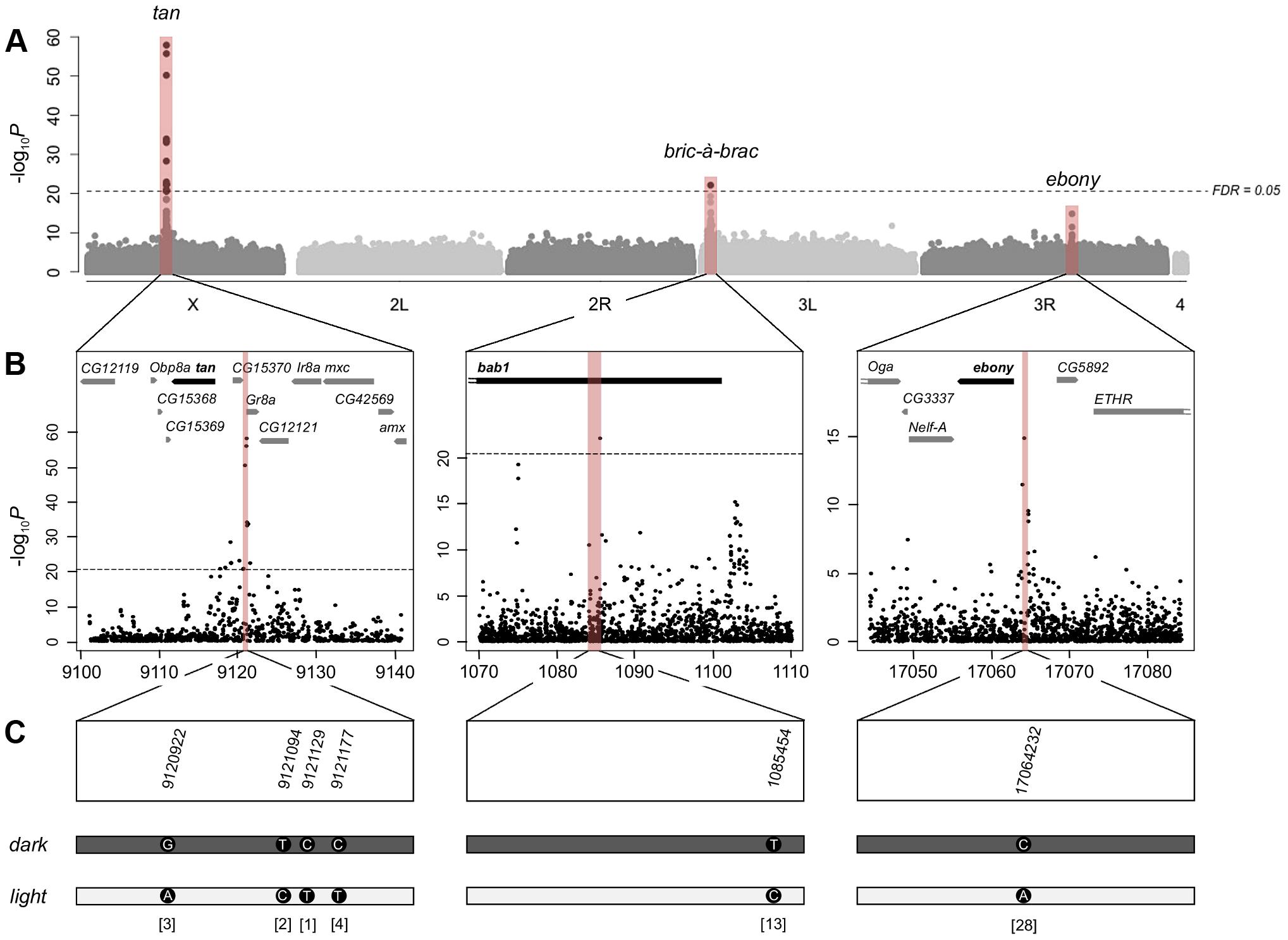 Genome-wide association study of female abdominal pigmentation.