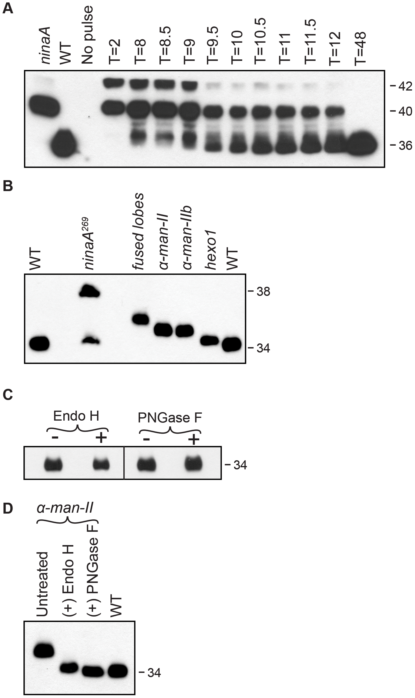 Rh1 is deglycosylated in a step-wise fashion.