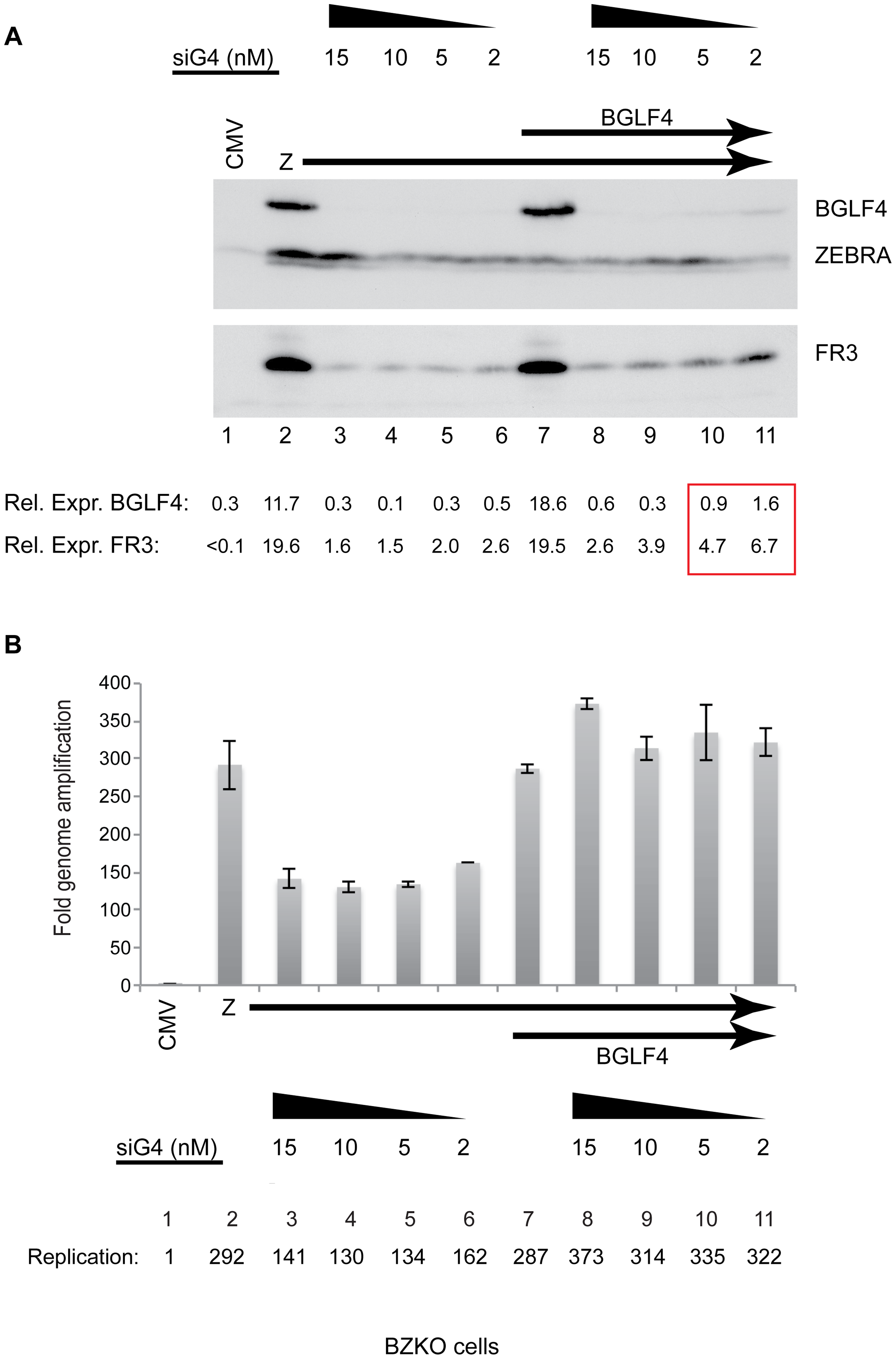 siRNA specific to BGLF4 abolishes expression of the late FR3 protein.