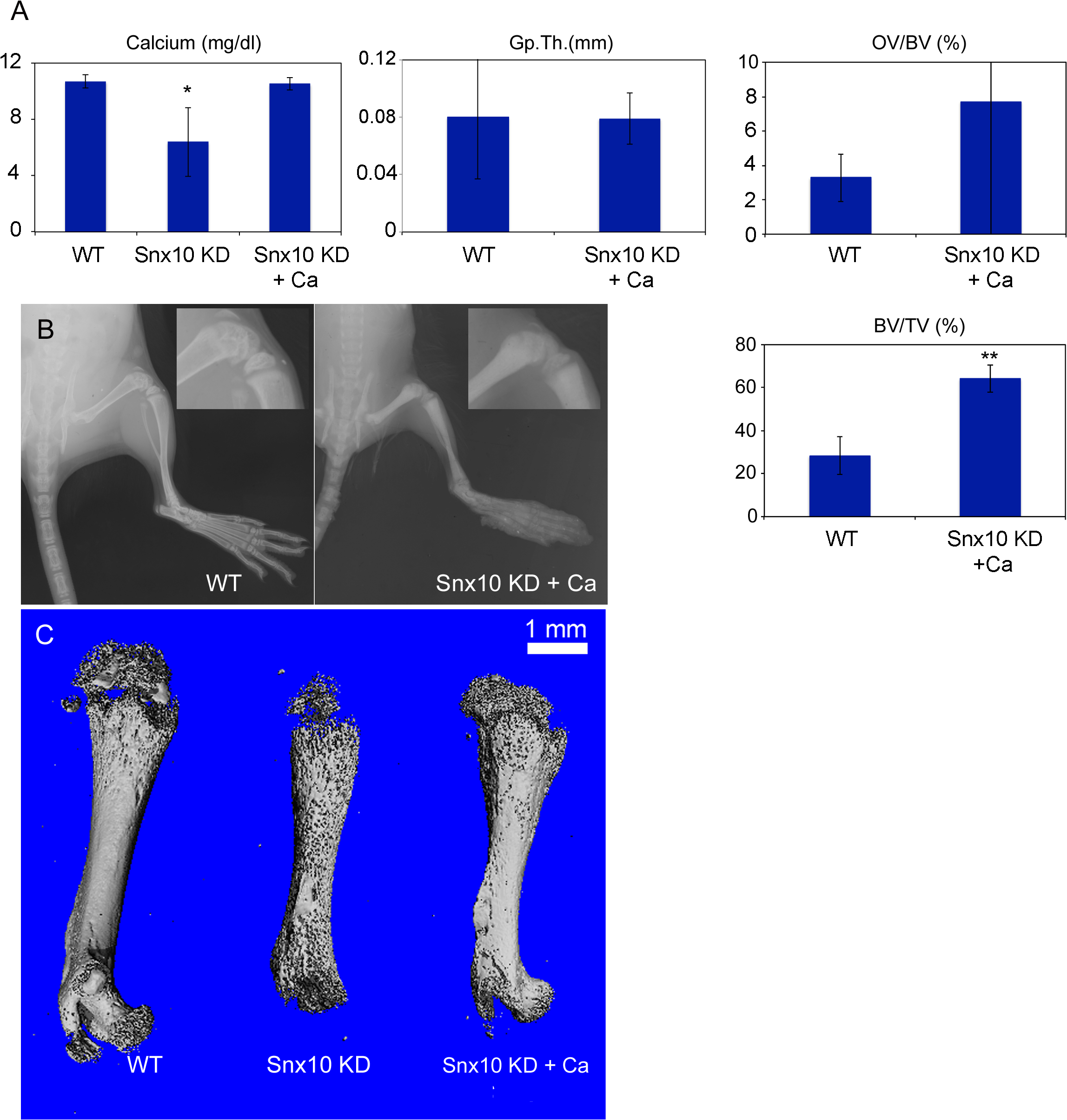 Calcium supplementation can normalize calcium homeostasis and correct the rickets phenotype in Snx10 KD mice.