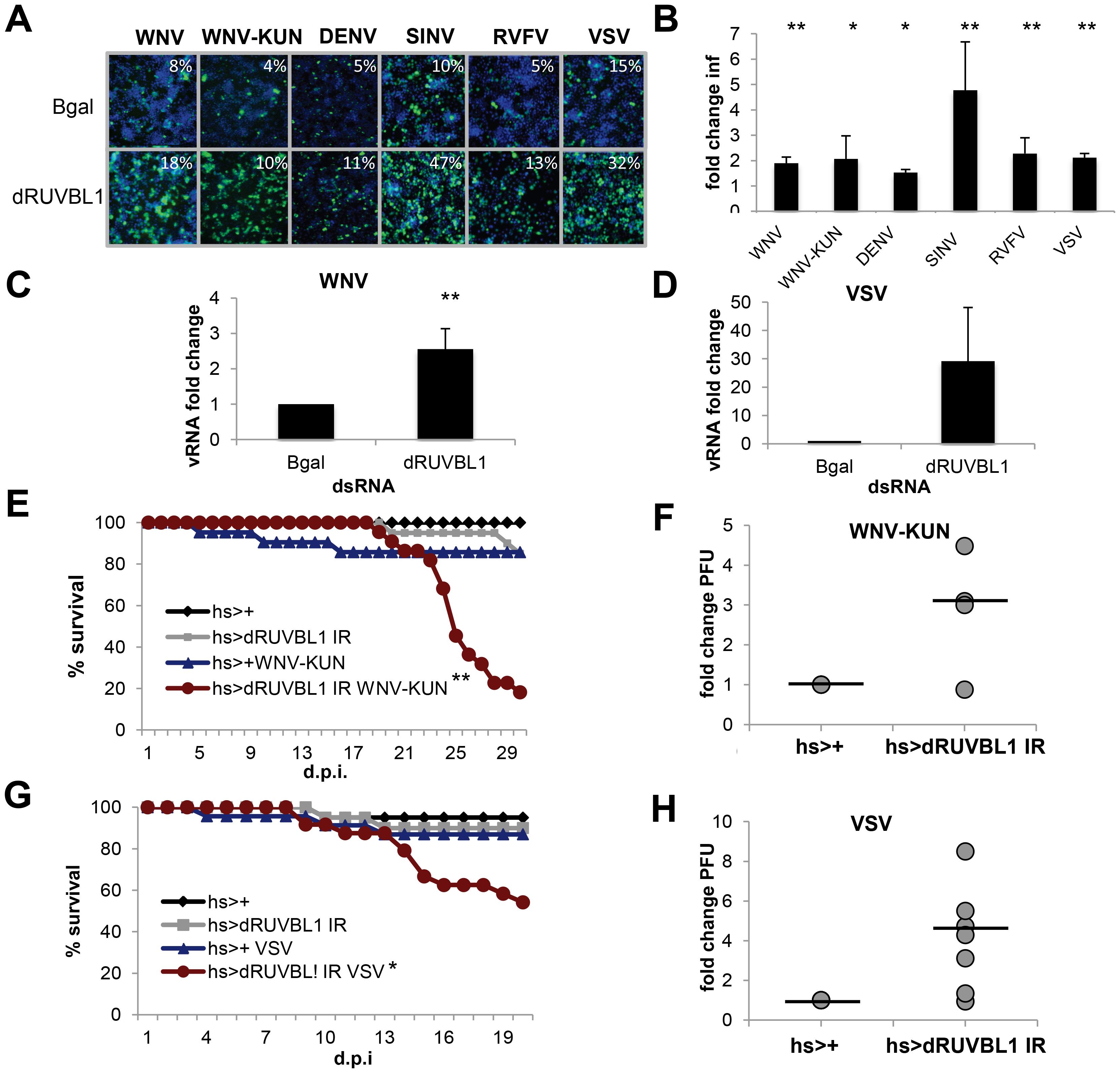 dRUVBL1 is a broadly antiviral gene.