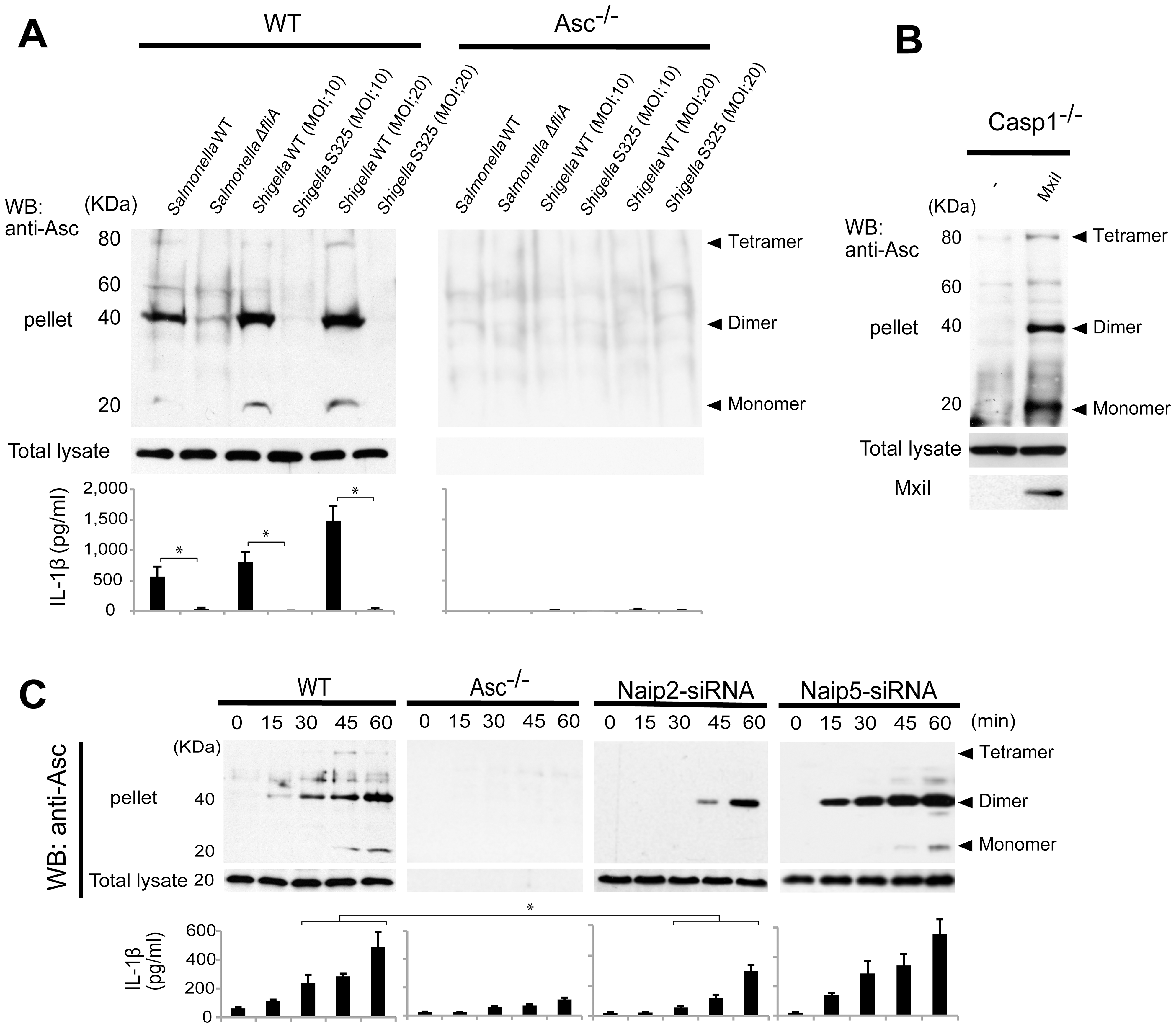 <i>Shigella</i> or MxiI expression induces Naip2-dependent Asc dimerization in macrophages.