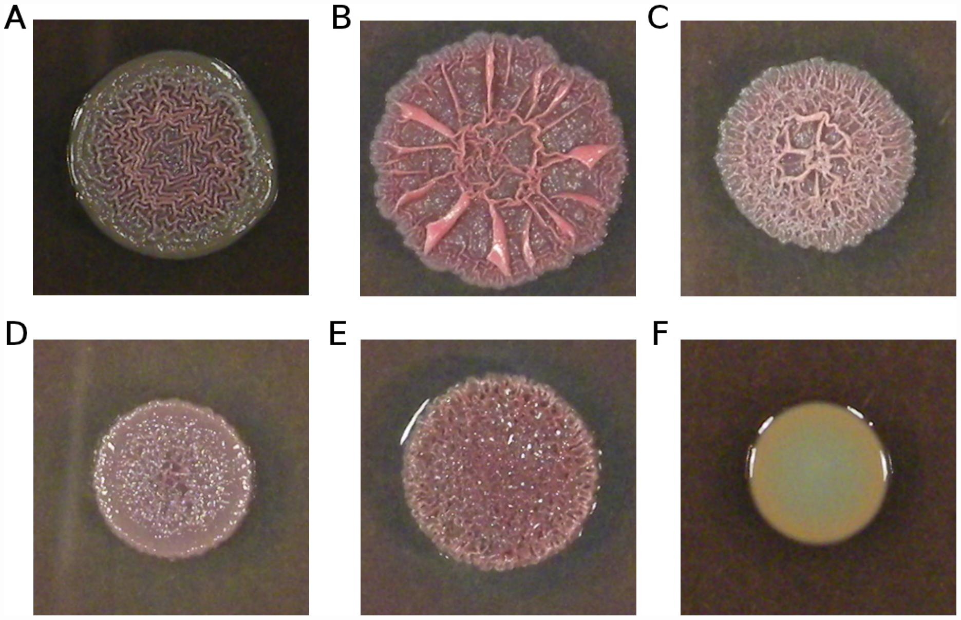 Variation in colony morphology.