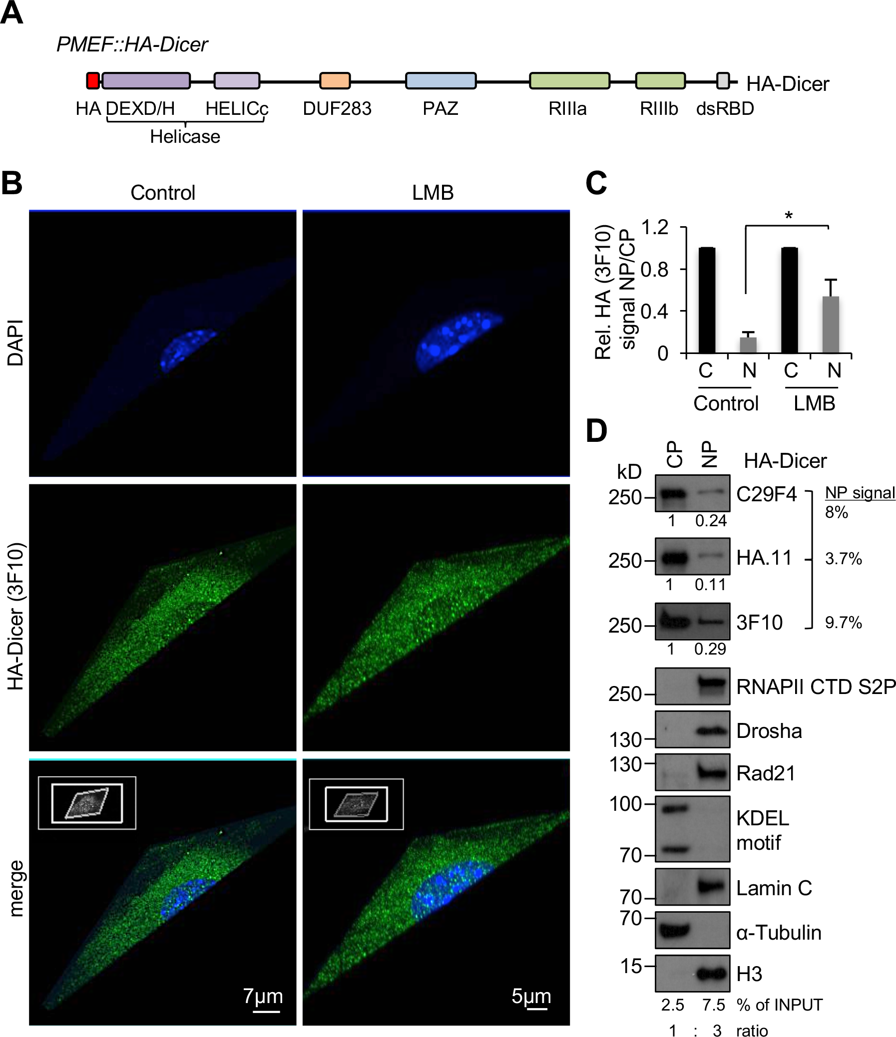 Subcellular localisation of HA-Dicer in murine PMEF::HA-Dicer cells.