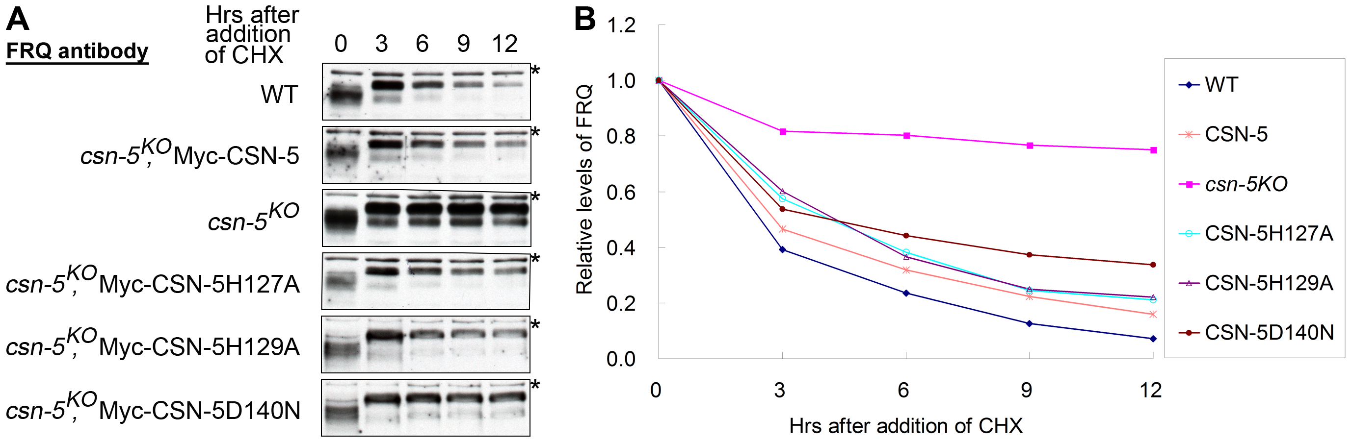 Mutations in the JAMM motif of CSN-5 partially restore SCF-mediated FRQ degradation in the <i>csn-5<sup>KO</sup></i> strain.