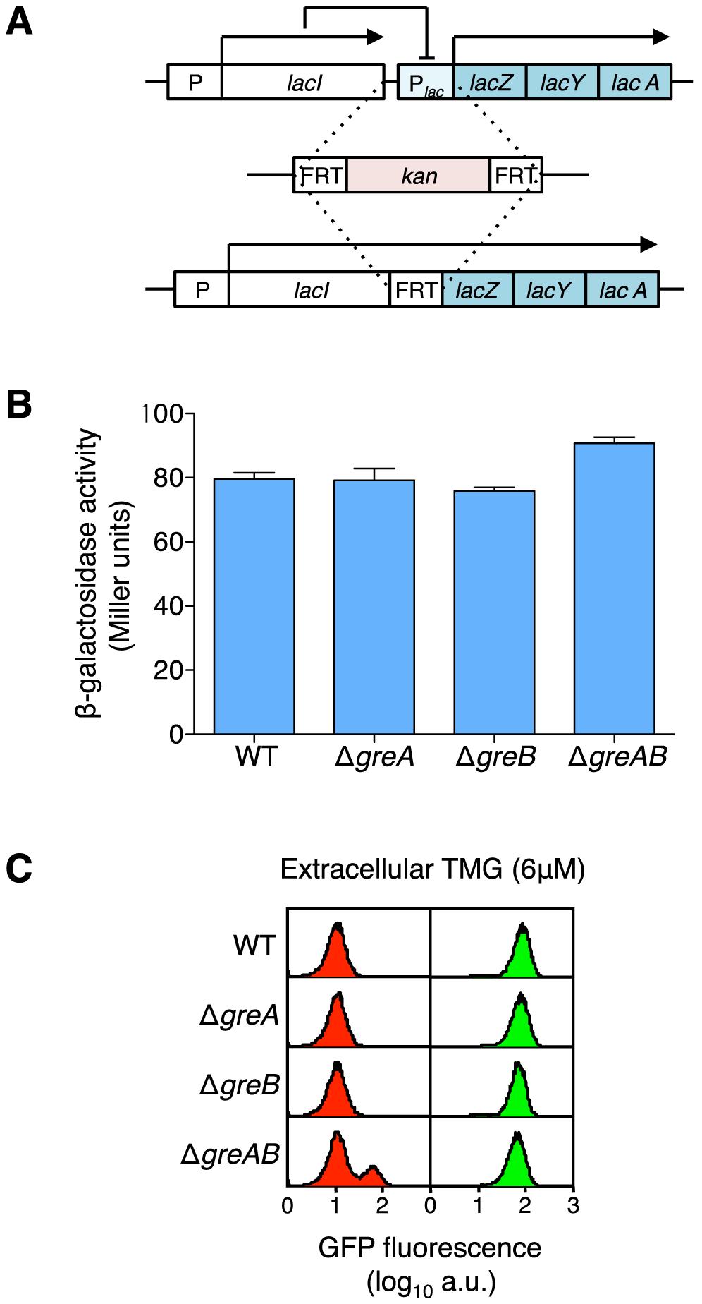 Creation of a <i>lacIZYA</i> operon fusion to assess the levels of gene expression from the <i>lacI</i> gene promoter.