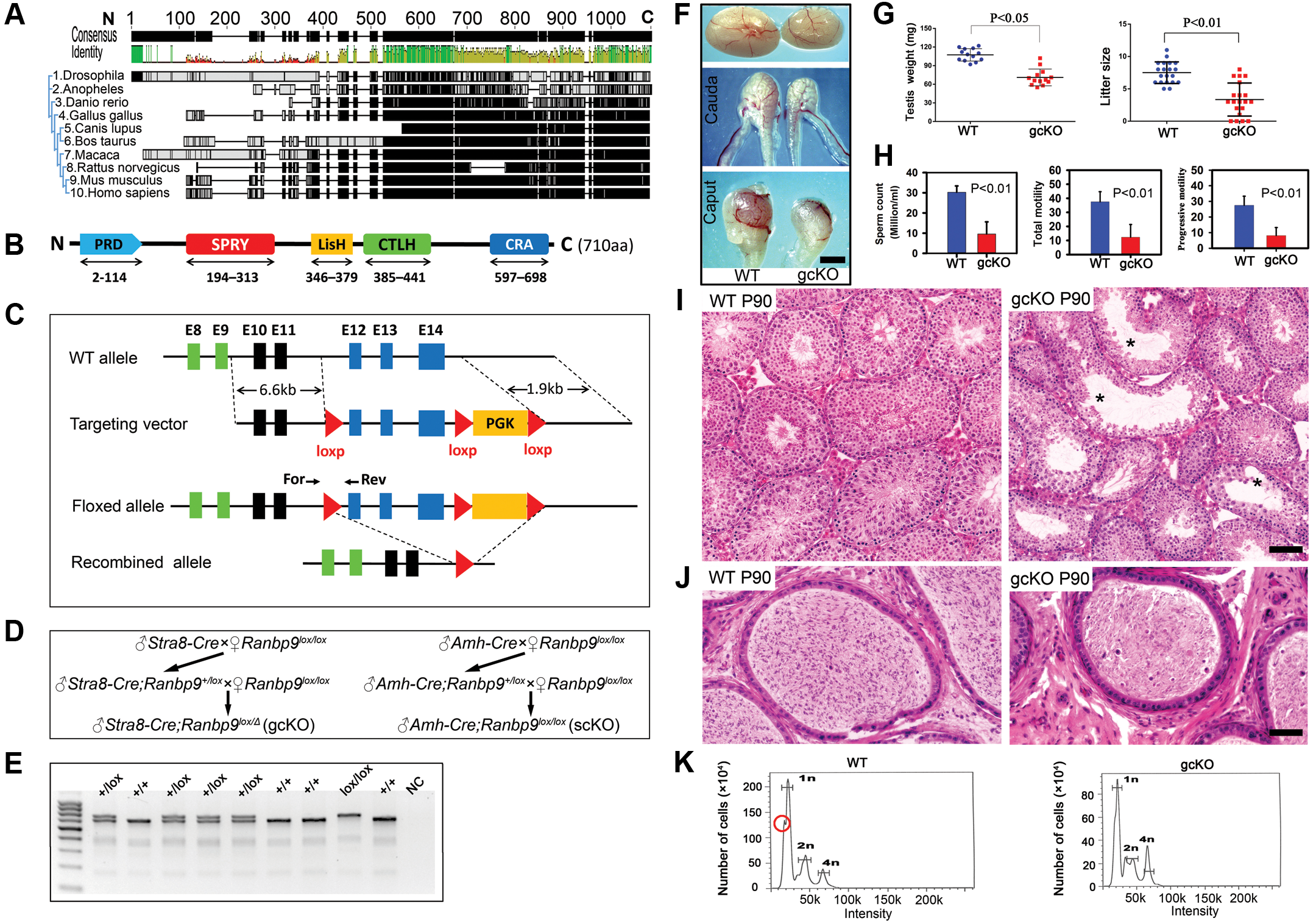 Conditional inactivation of <i>Ranbp9</i> reveals that male germ cell <i>Ranbp9</i> is required for normal spermatogenesis and male fertility.