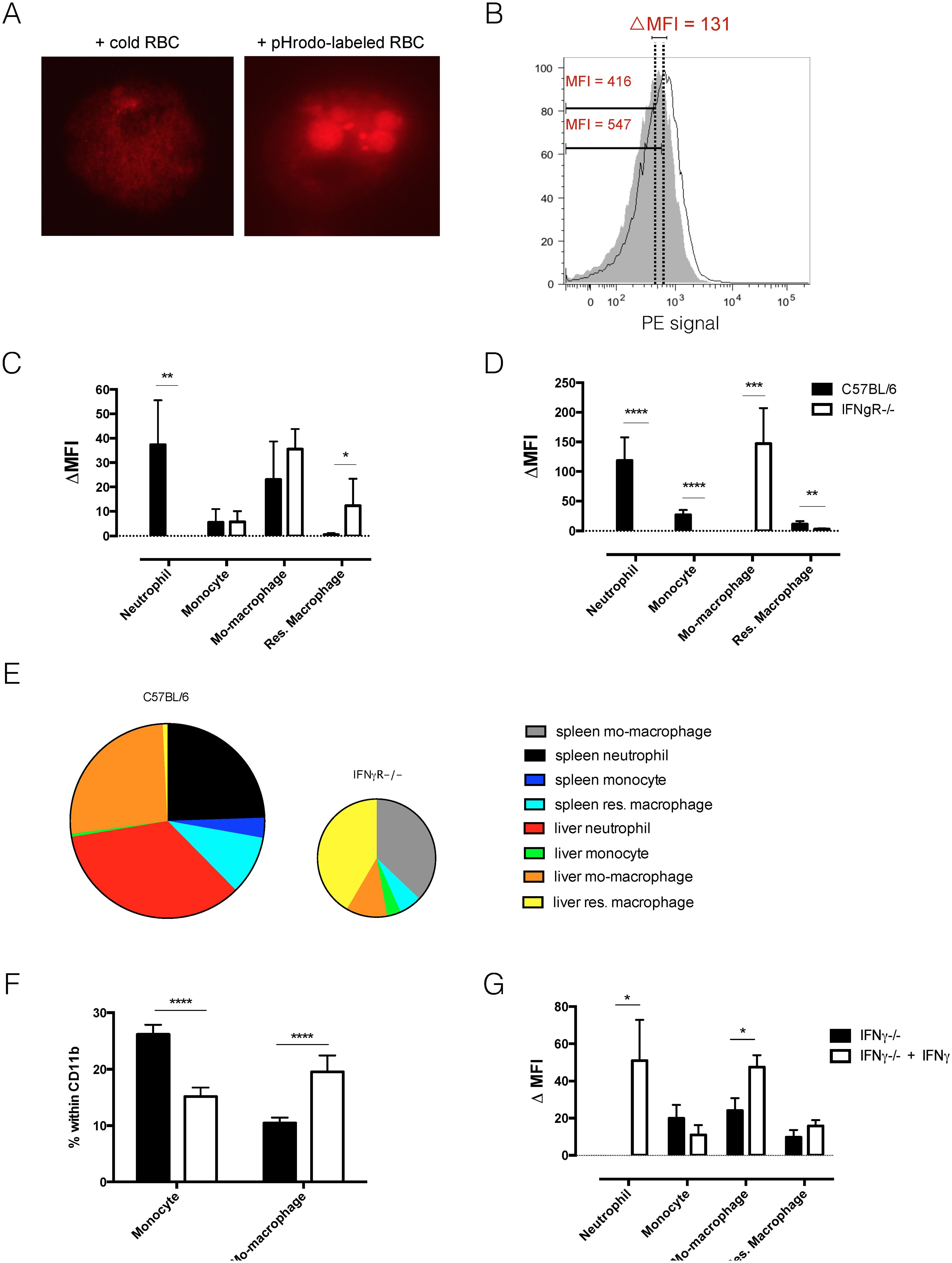 <i>In vivo</i> erythrophagocytosis assay and <i>ex vivo</i> RBC hemolysis experiment.