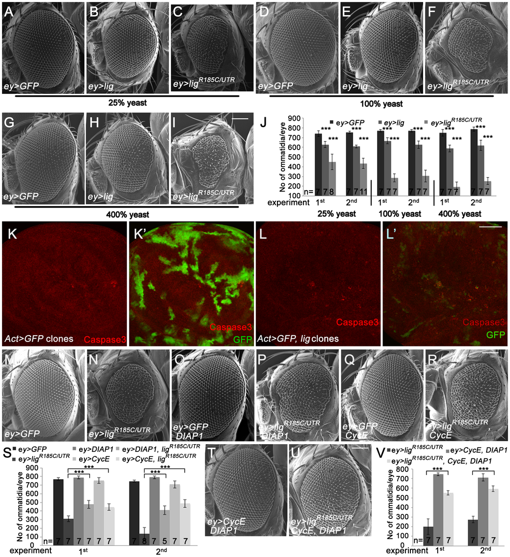 Eyes overexpressing <i>lig</i> are reduced in size and are partially rescued by <i>CycE</i> and <i>DIAP1</i> co-overexpression.