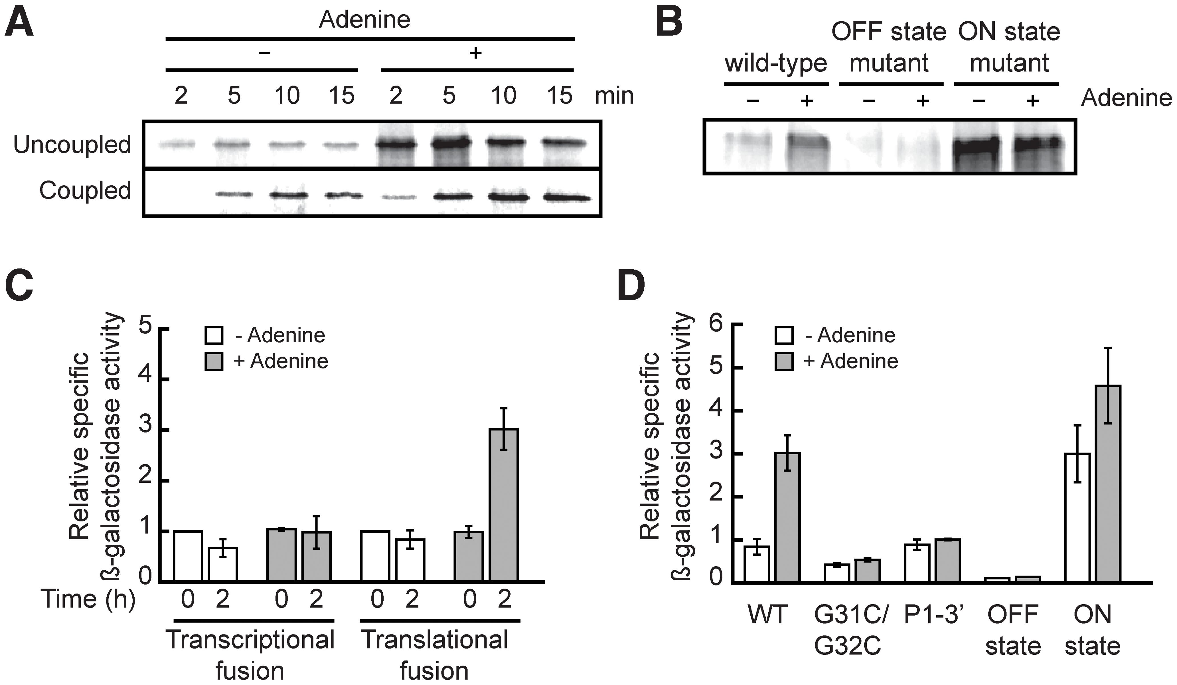 The <i>add</i> riboswitch positively regulates gene expression <i>in vitro</i> and <i>in vivo</i>.