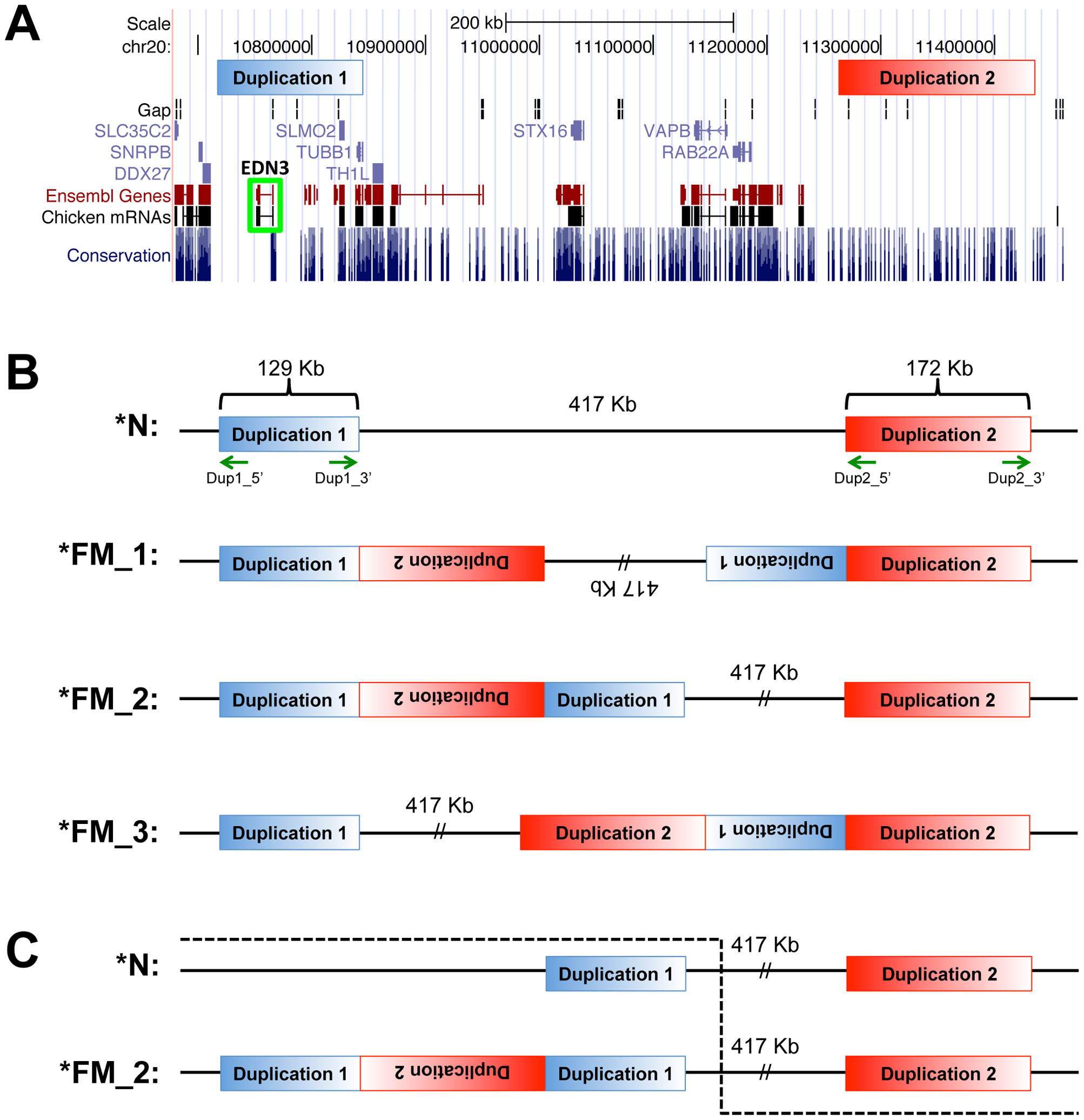 Genome view of duplicated regions and possible rearrangement scenarios.